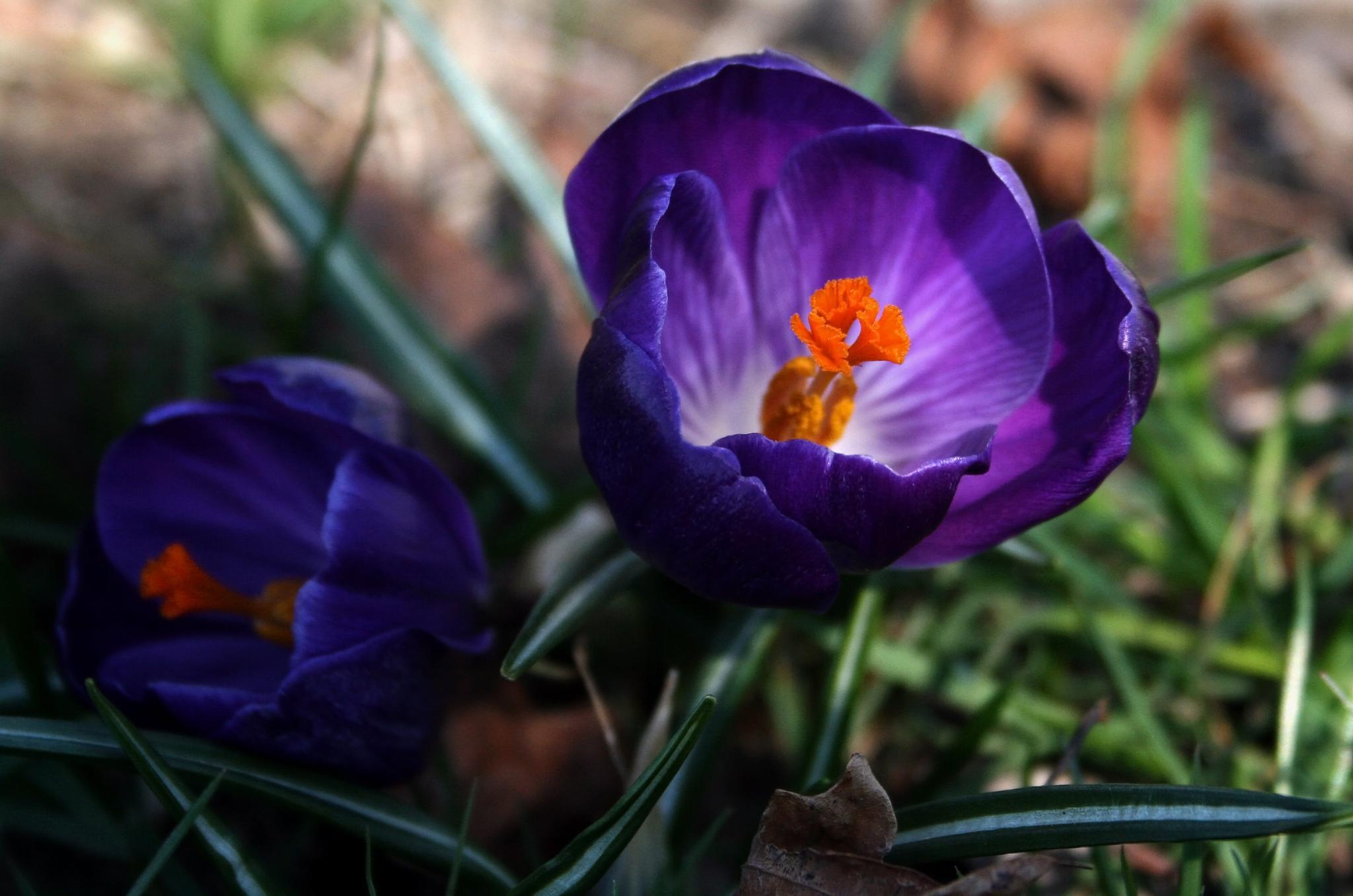 Purple Crocus by karen.e.harrison.3