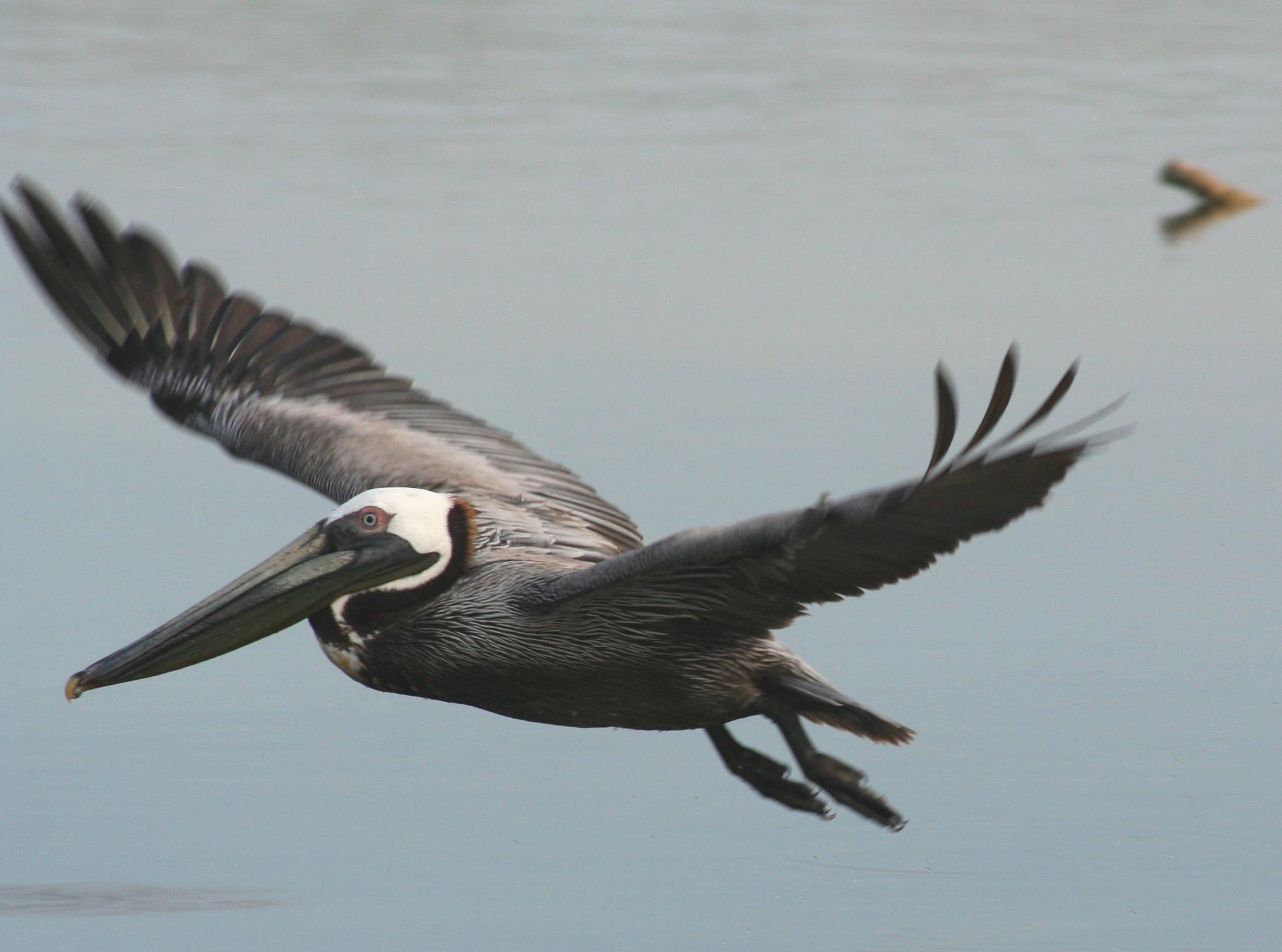 Pelican by AliciaGrennan