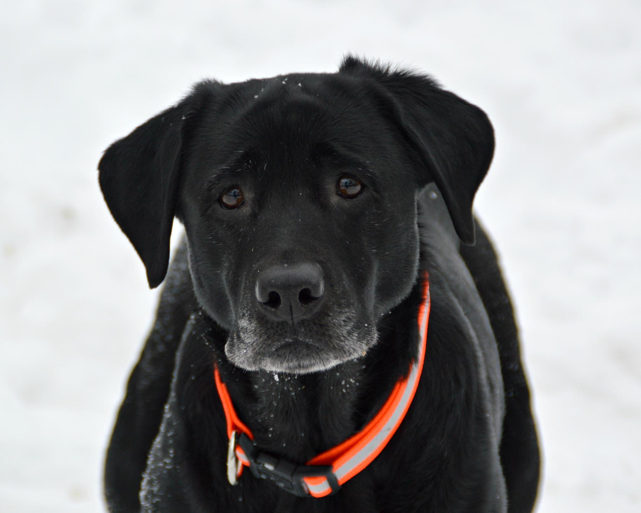 Sheeba Black Lab by lisalovespictures