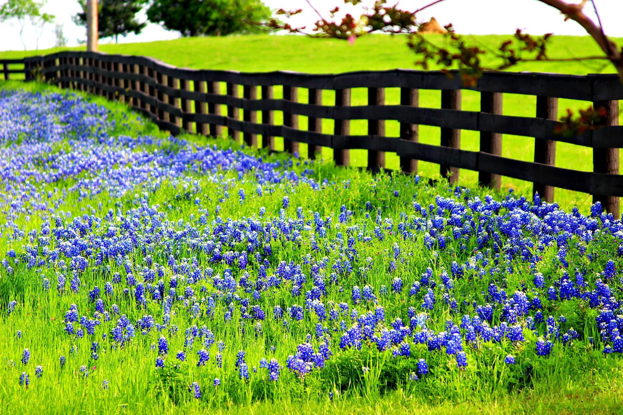 Bluebonnet Trails In Ennis, Texas by Irelandred