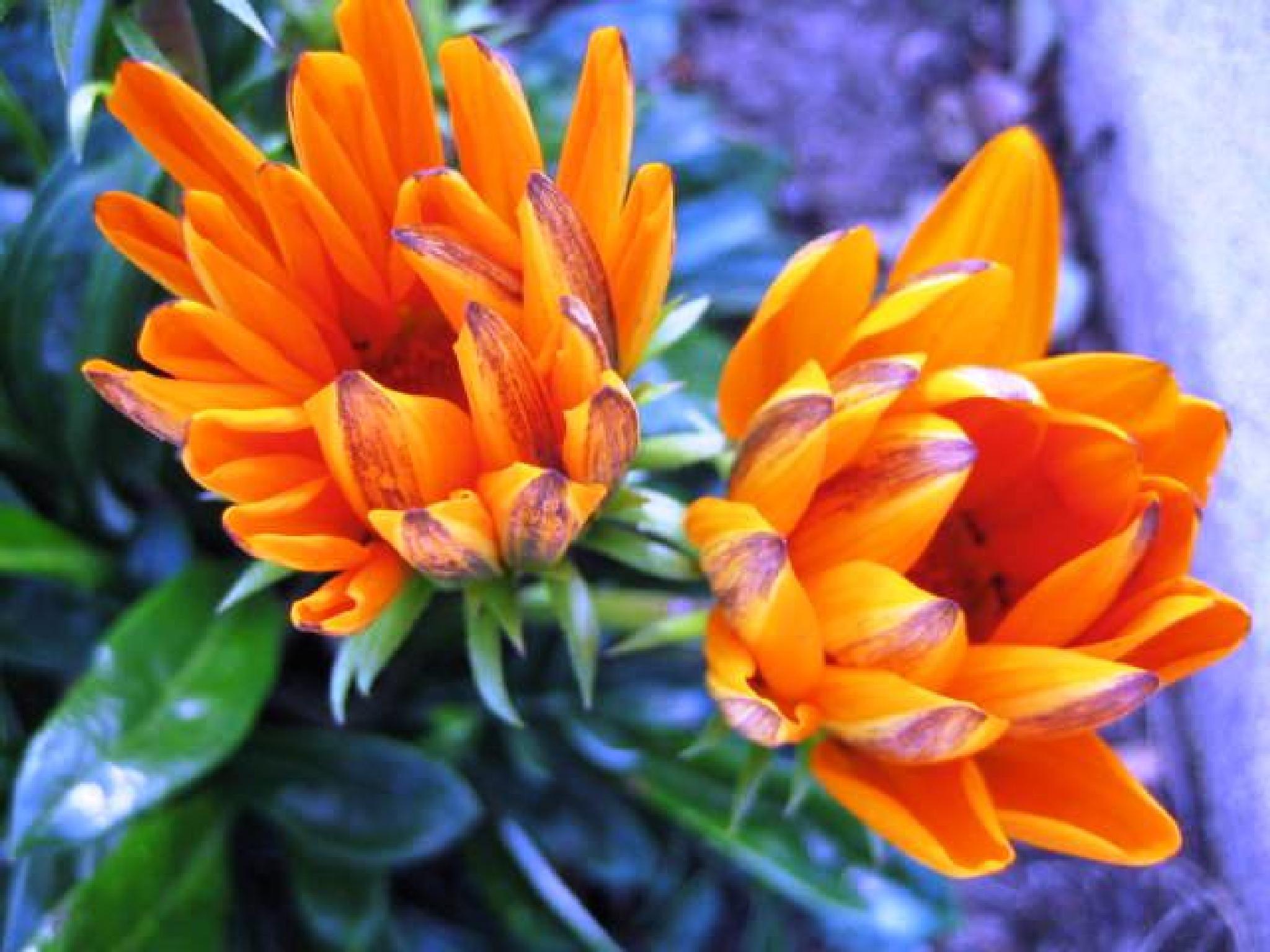 Beautiful orange flowers by tanzicakes