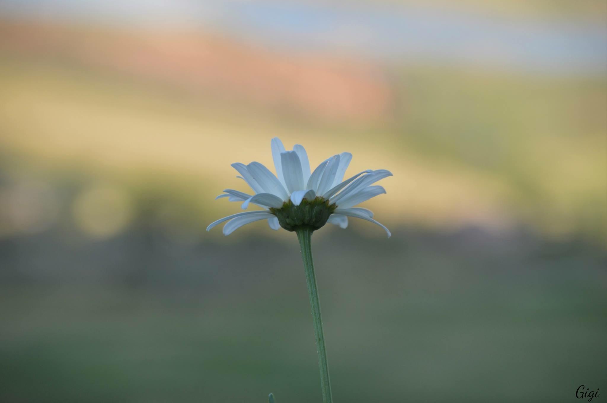 Daisy by Gigi