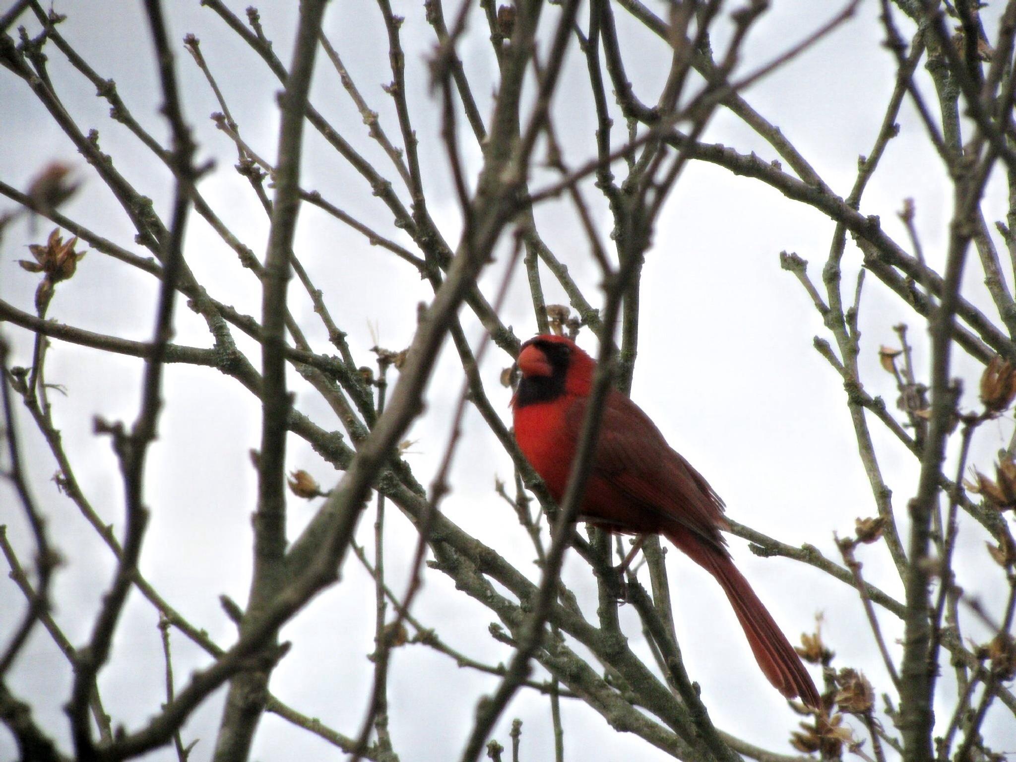 Kentucky Cardinal by LindafromKY