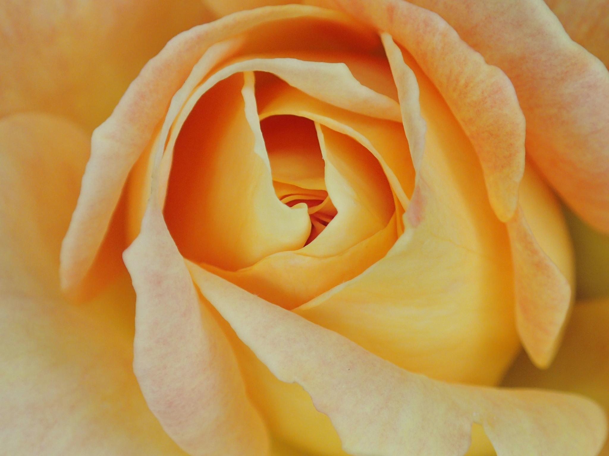 Yellow rose by jennifer.l.carroll.1972
