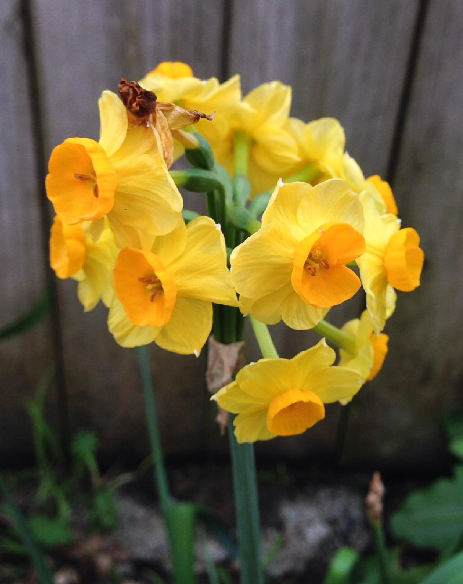 Golden Daffodil by Tee Gee