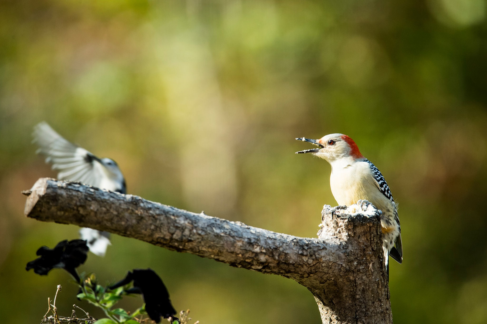 red-bellied woodpecker and nuthatch by JanetF