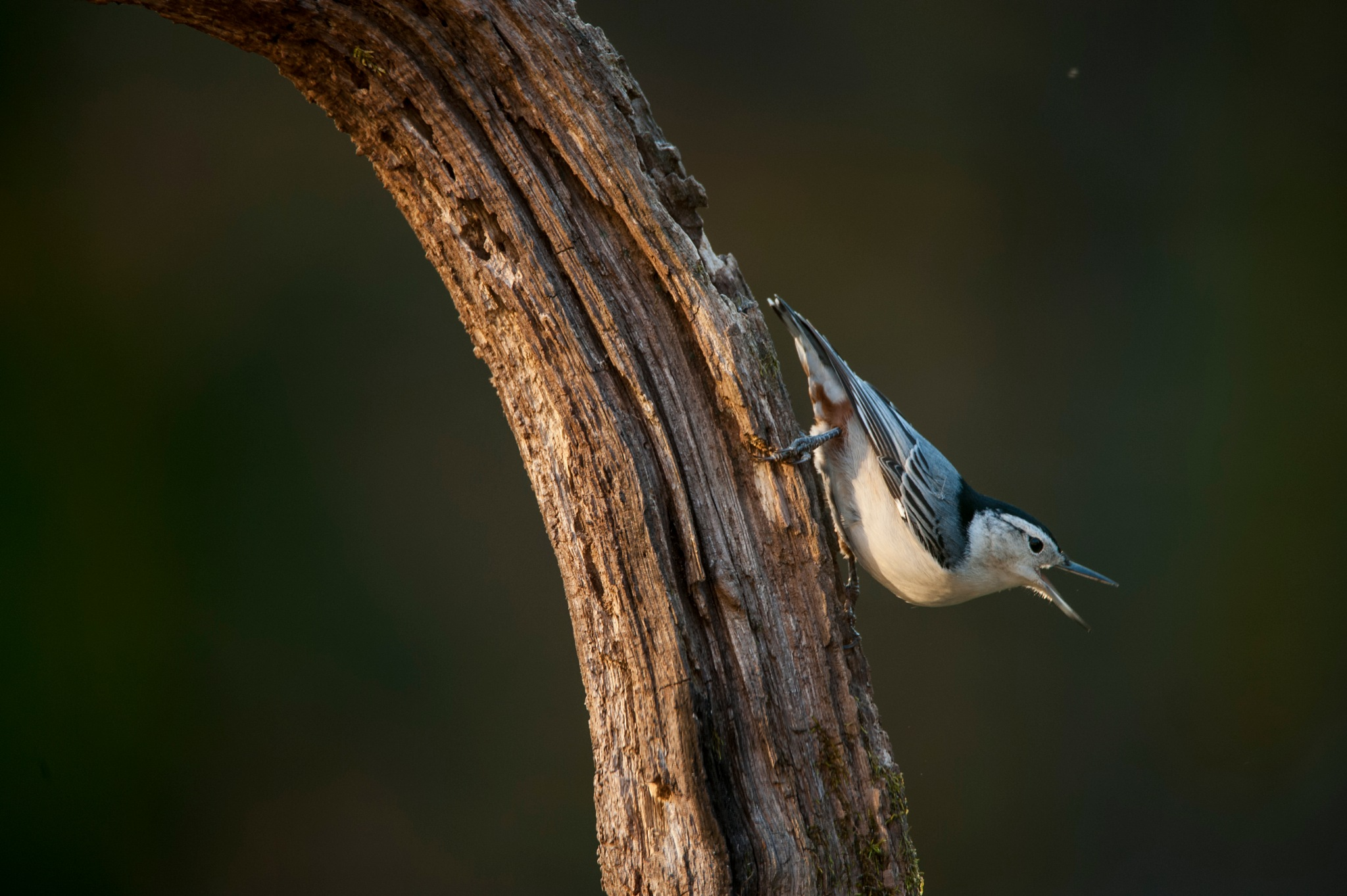 Male Nuthatch by JanetF