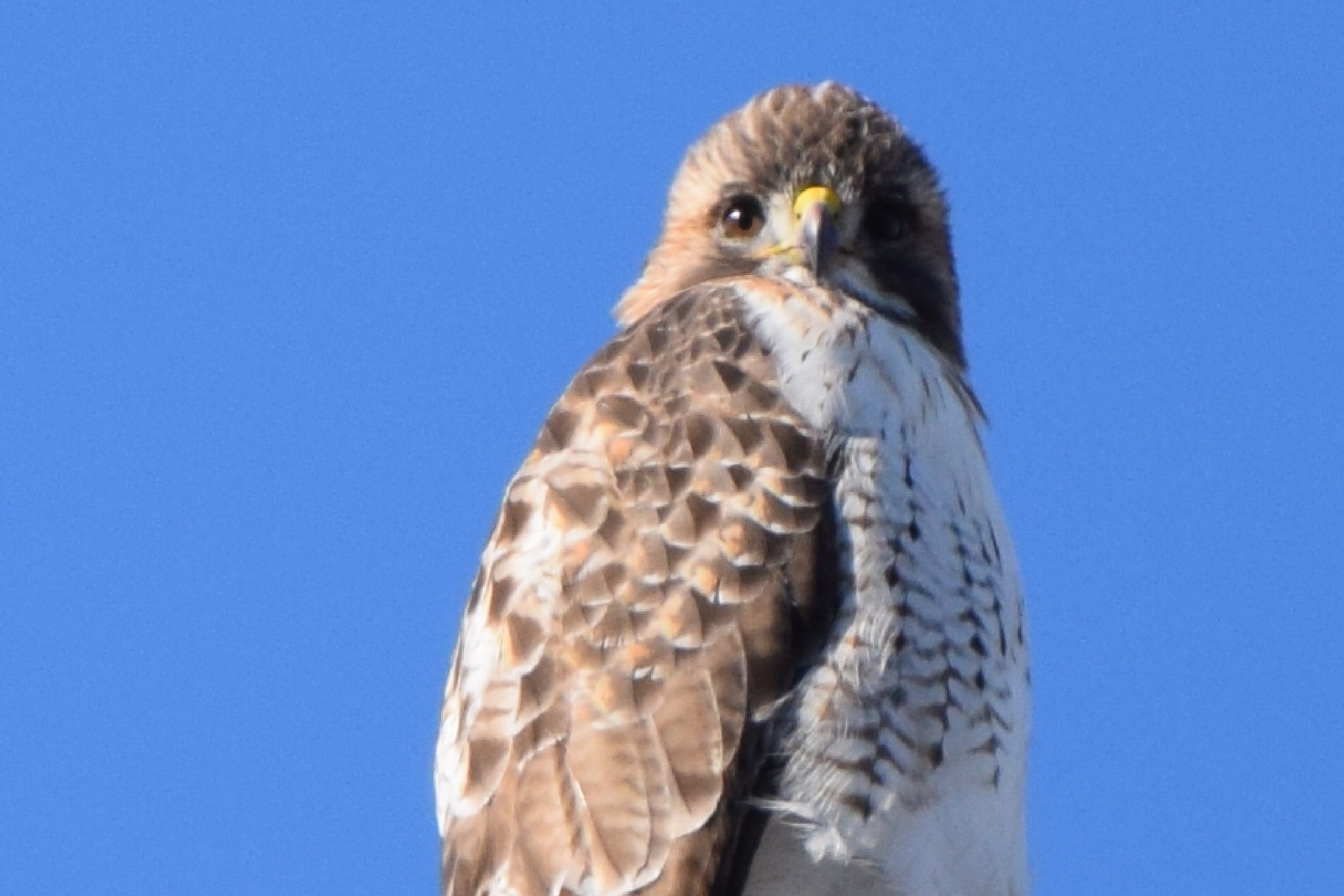 red tailed hawk, Utica illinois  by suzanne.bidgood.3