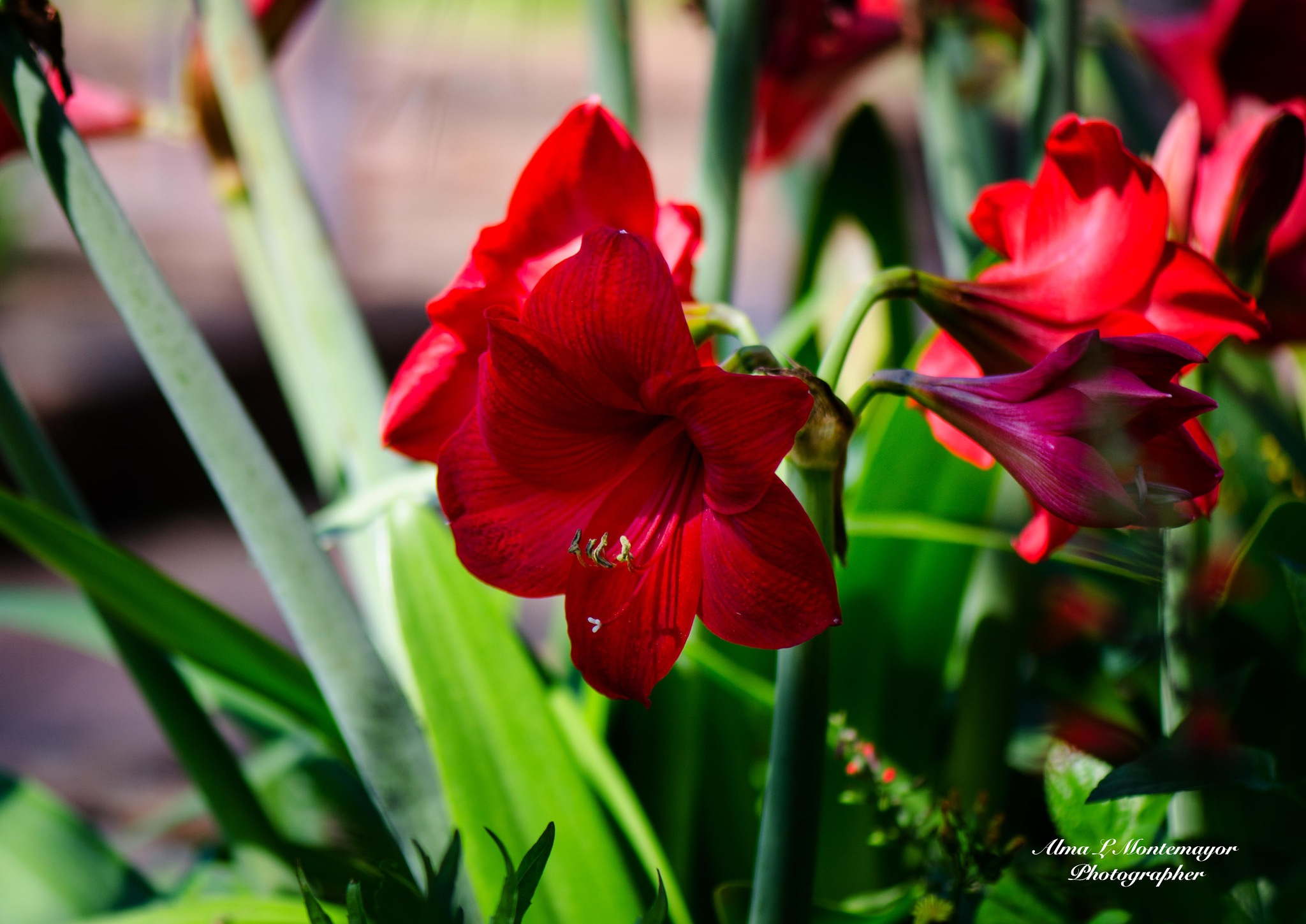 Red flowers in spring by Alma