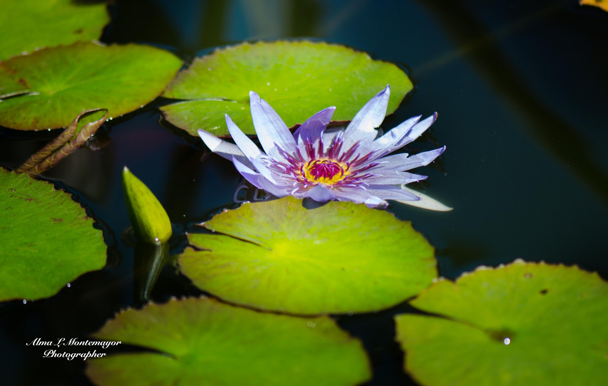 Water Lily by Alma