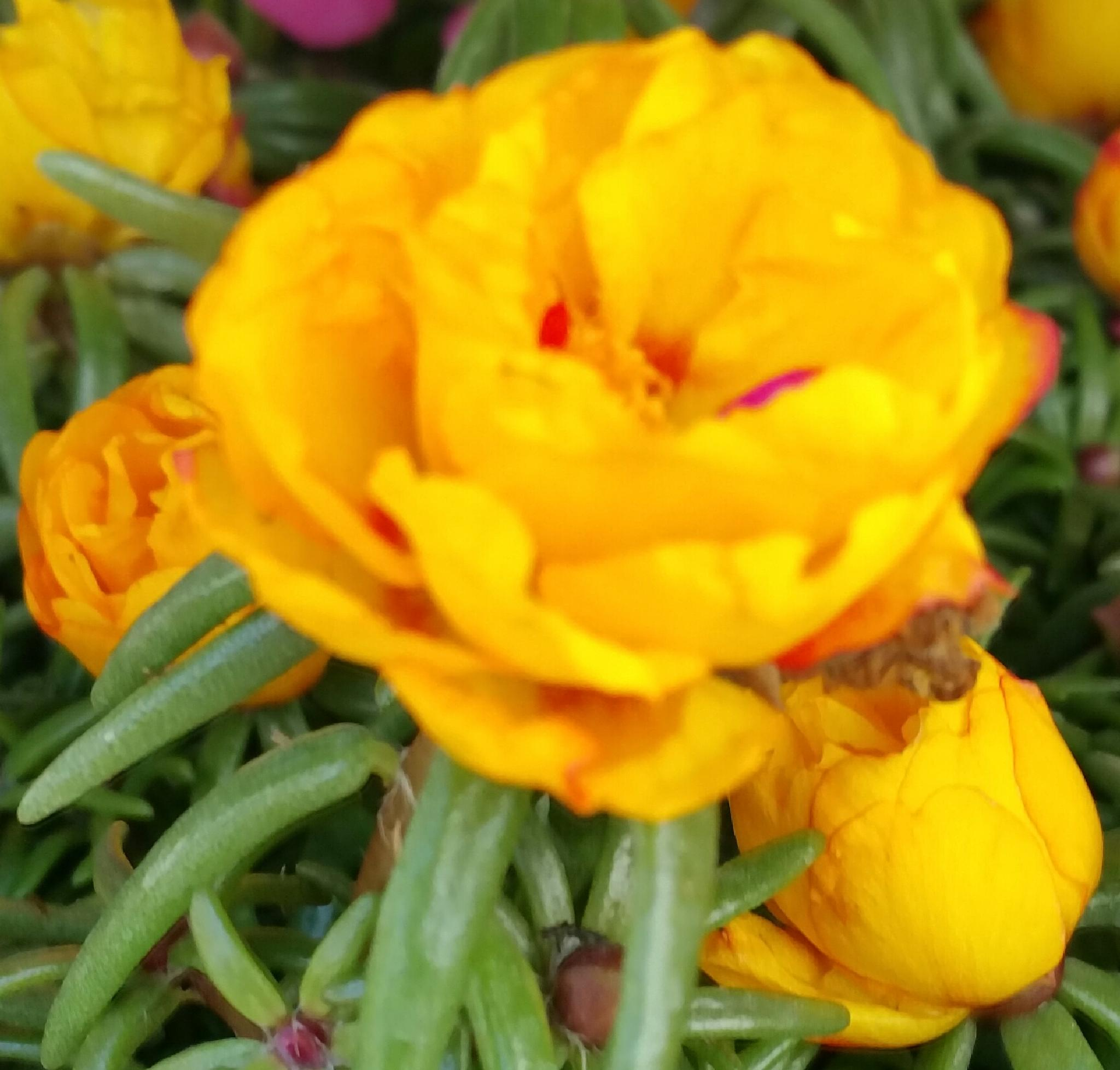 Yellow Portulaca. by aida.carpena