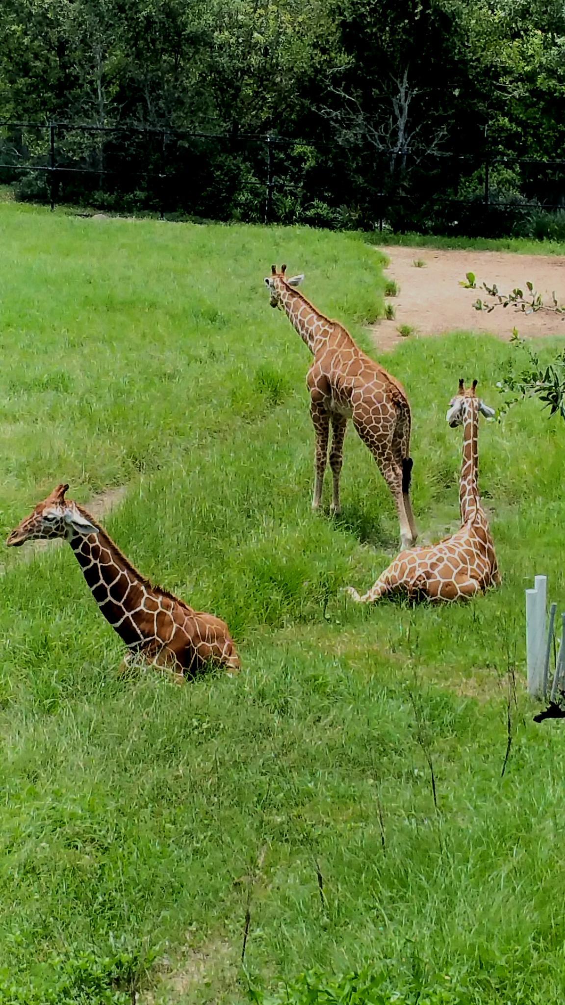 Giraffic Park by aida.carpena
