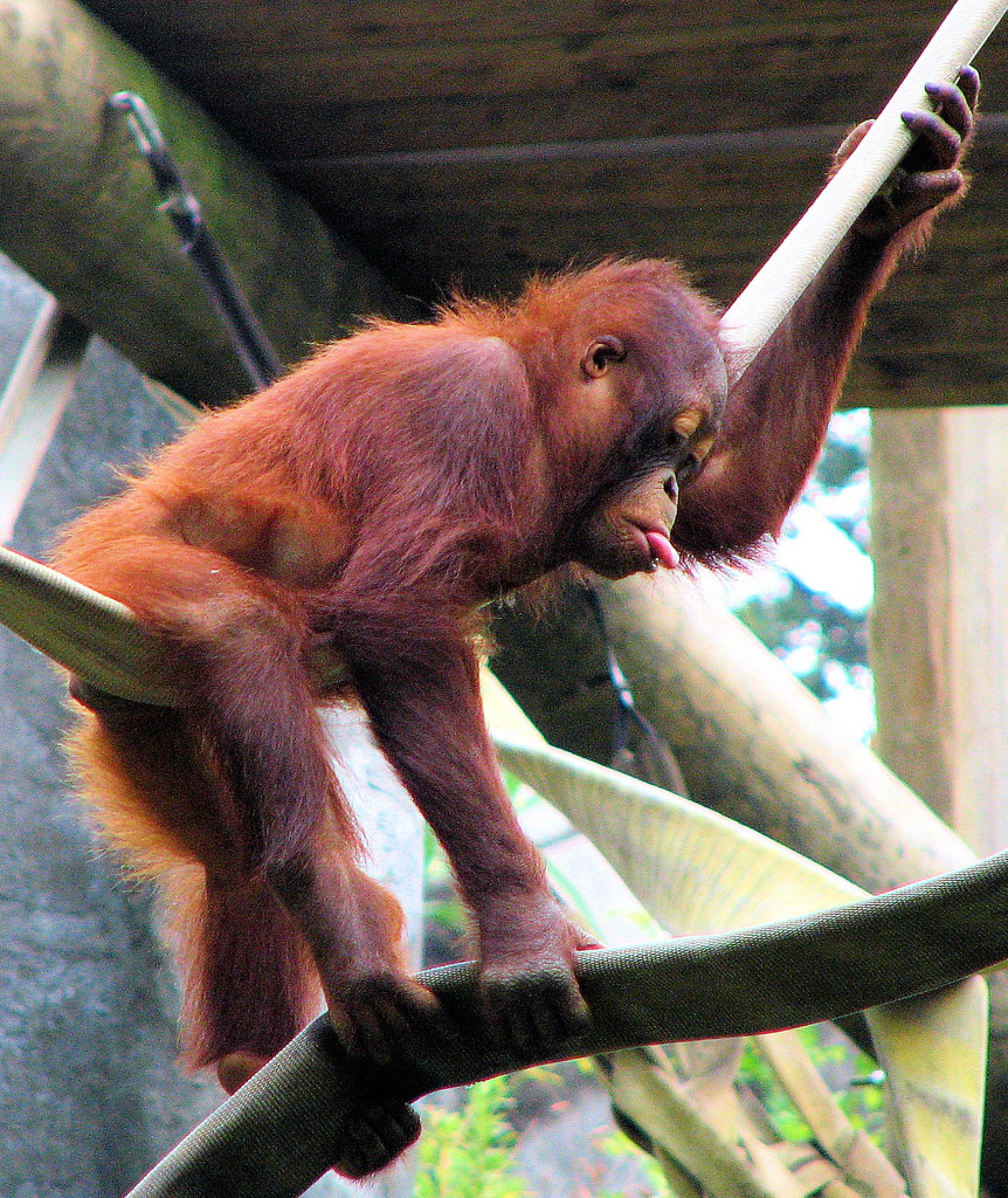 Baby Orangutan Razzberry by holly.afb.smith
