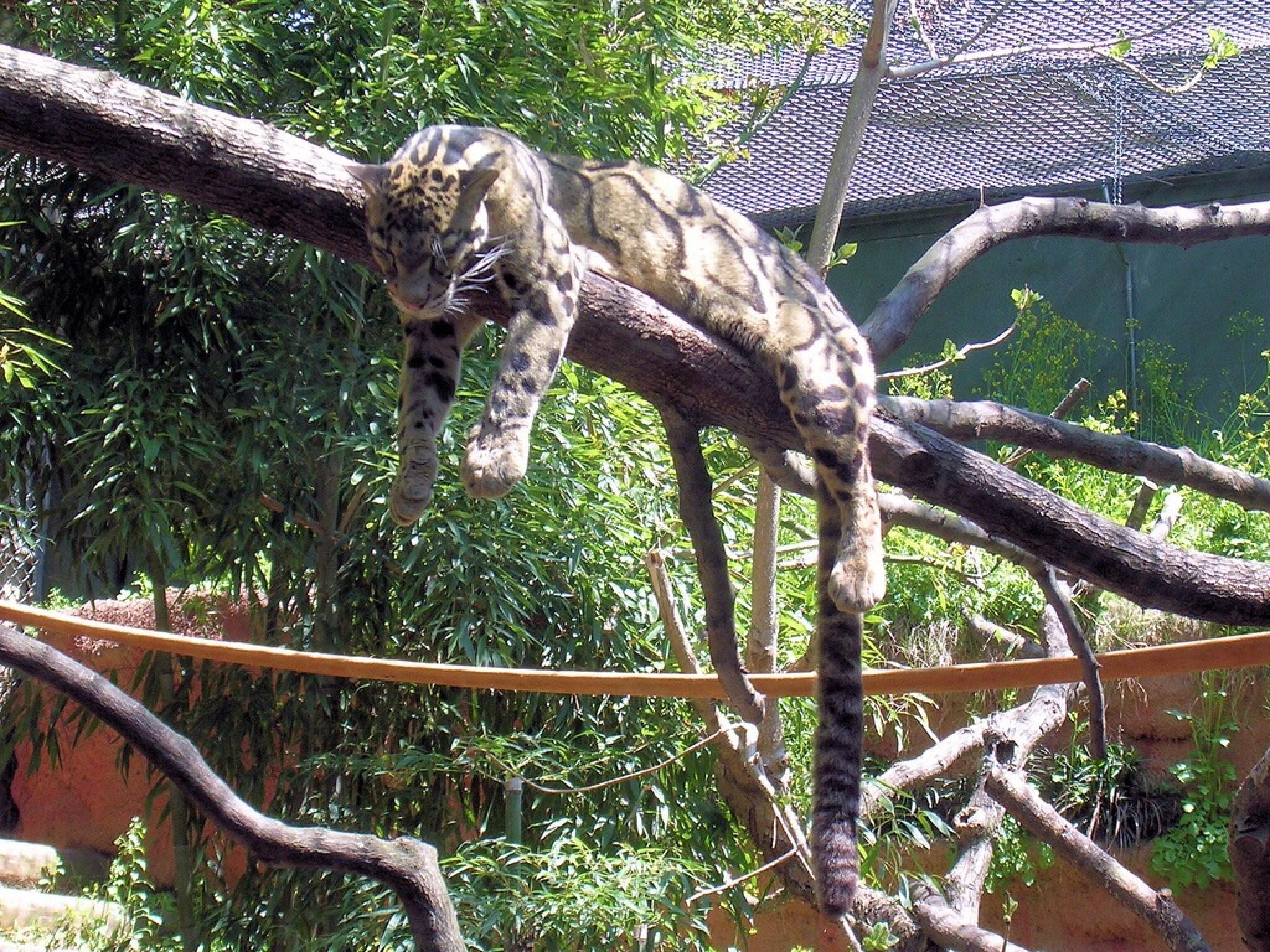 Snoozing clouded leopard by holly.afb.smith