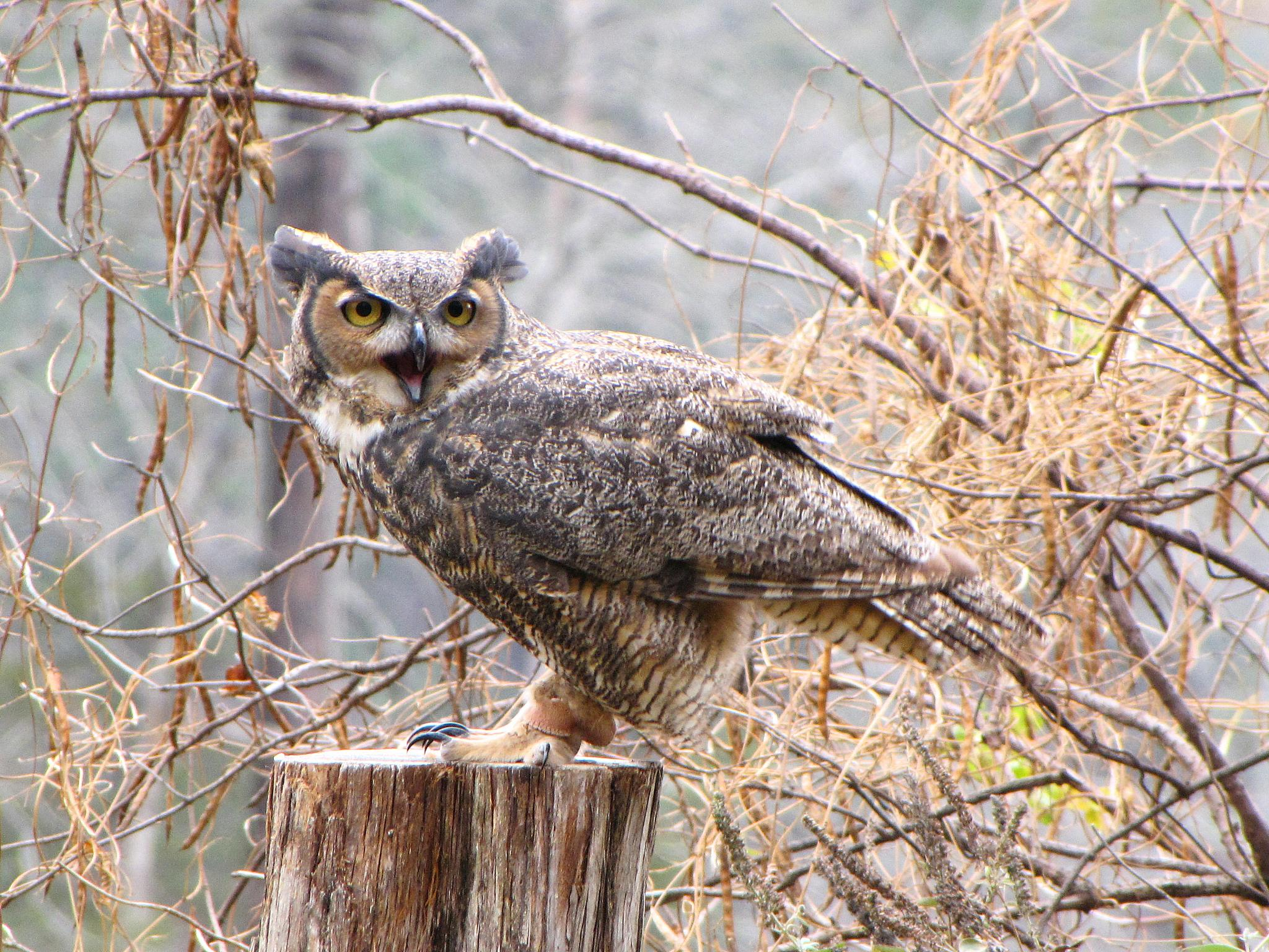 Great Horned Owl by holly.afb.smith