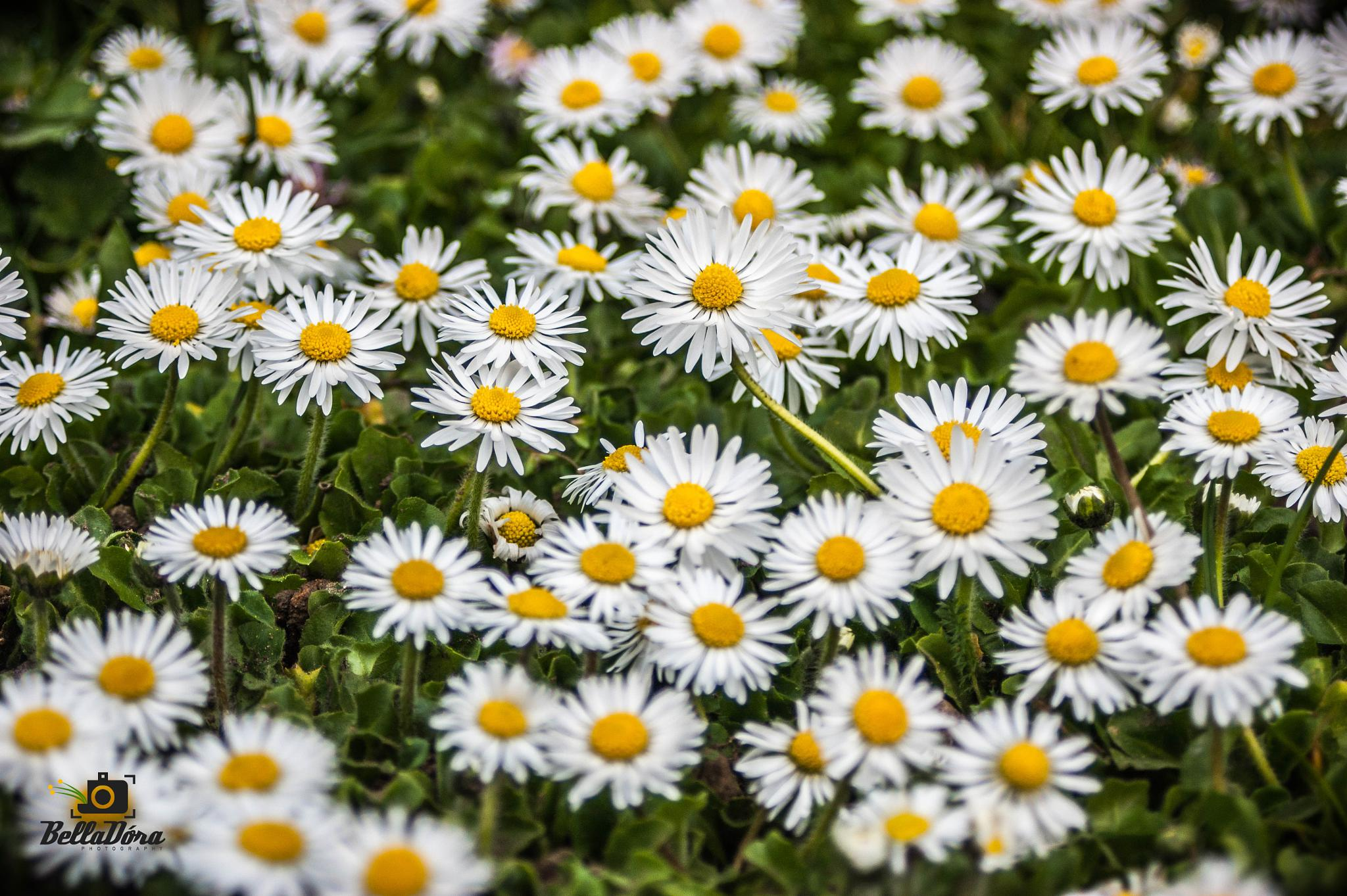 Spring, I love u by belladorii