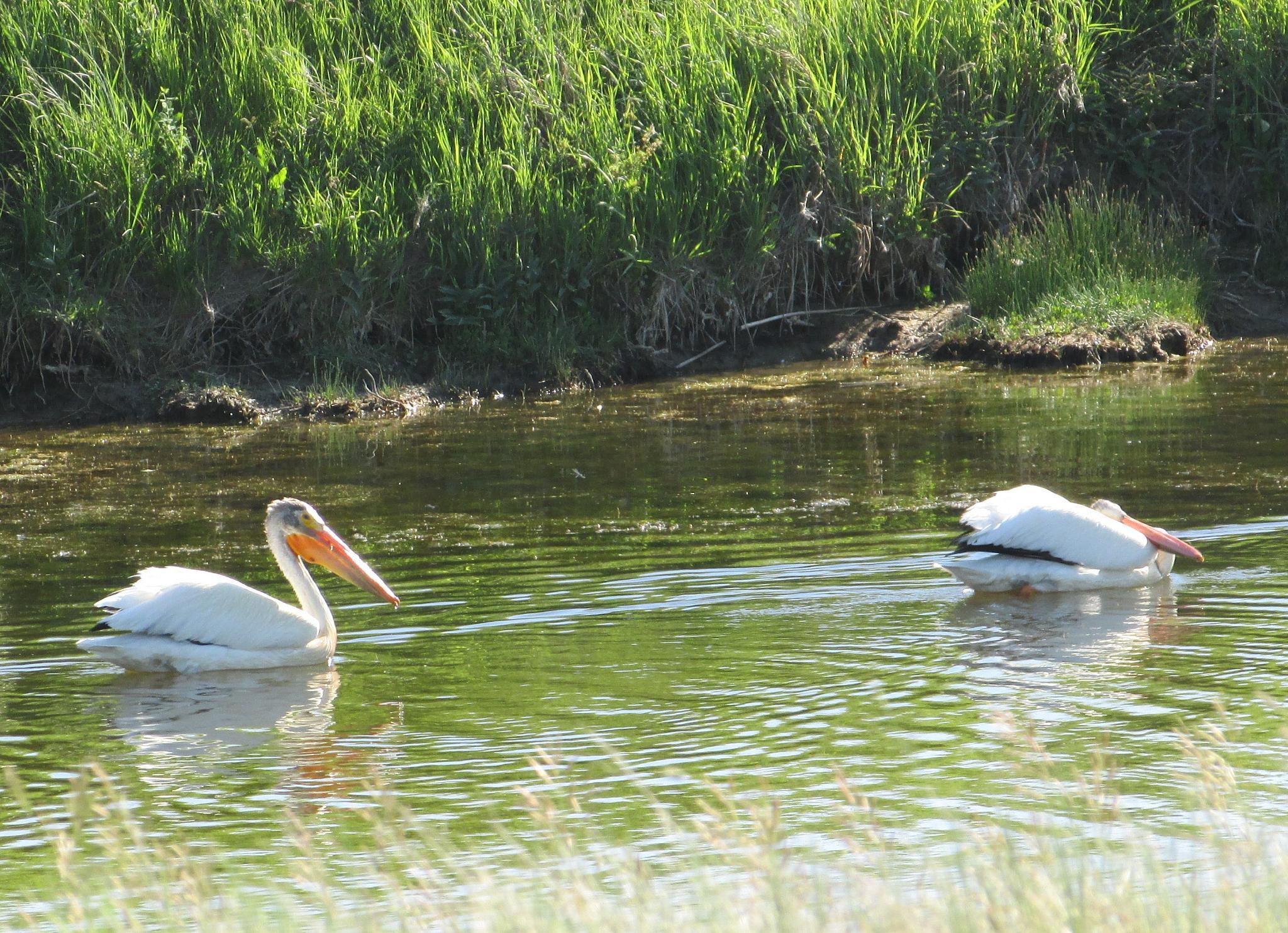 Pelicans  by jemagurl