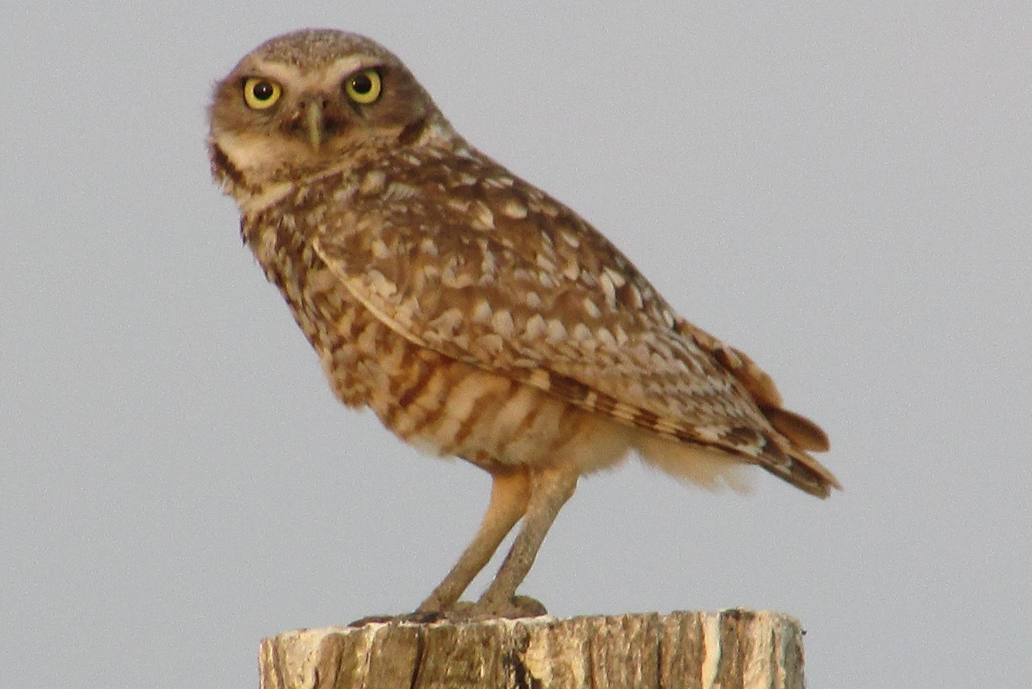 Burrowing owl by jemagurl
