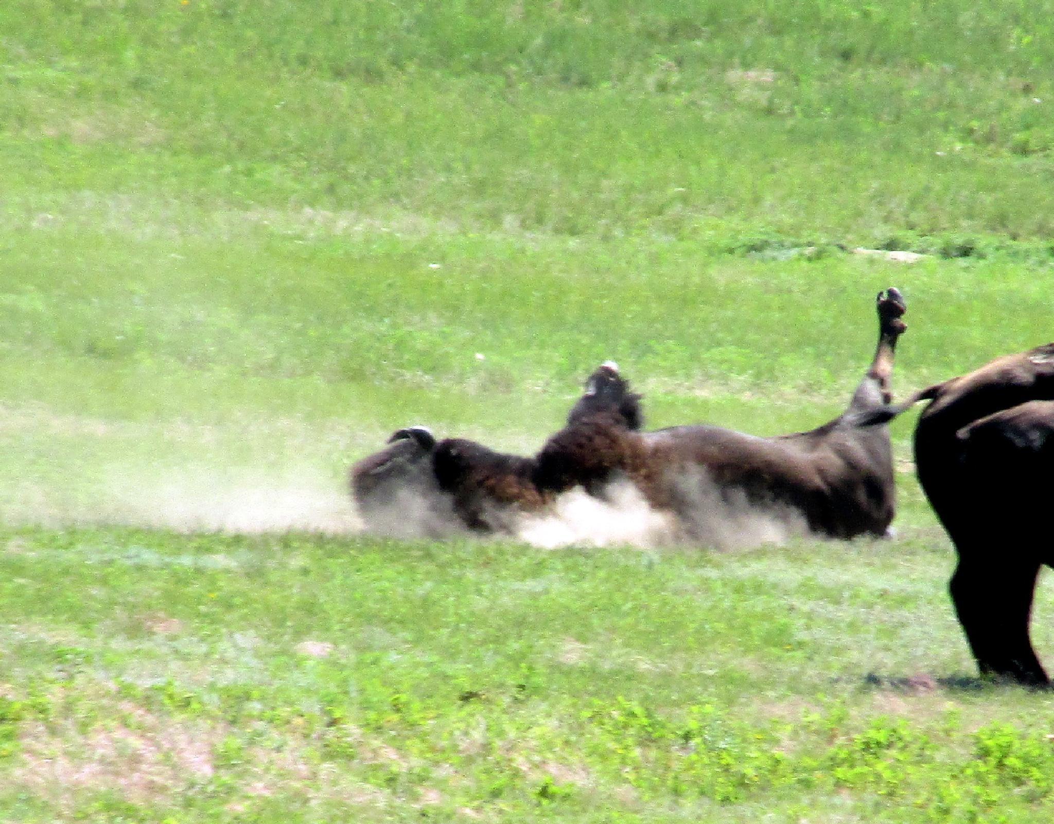 Buffalo dusting itself by jemagurl