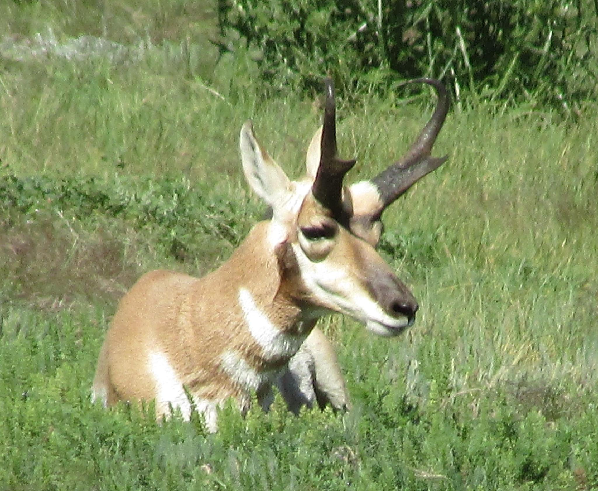 antelope by jemagurl