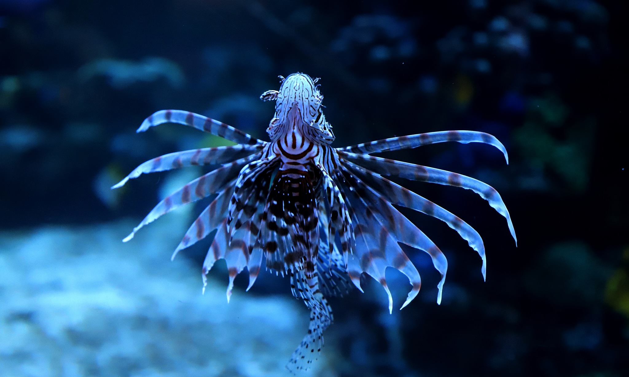 Lionfish by Andreia_Costa