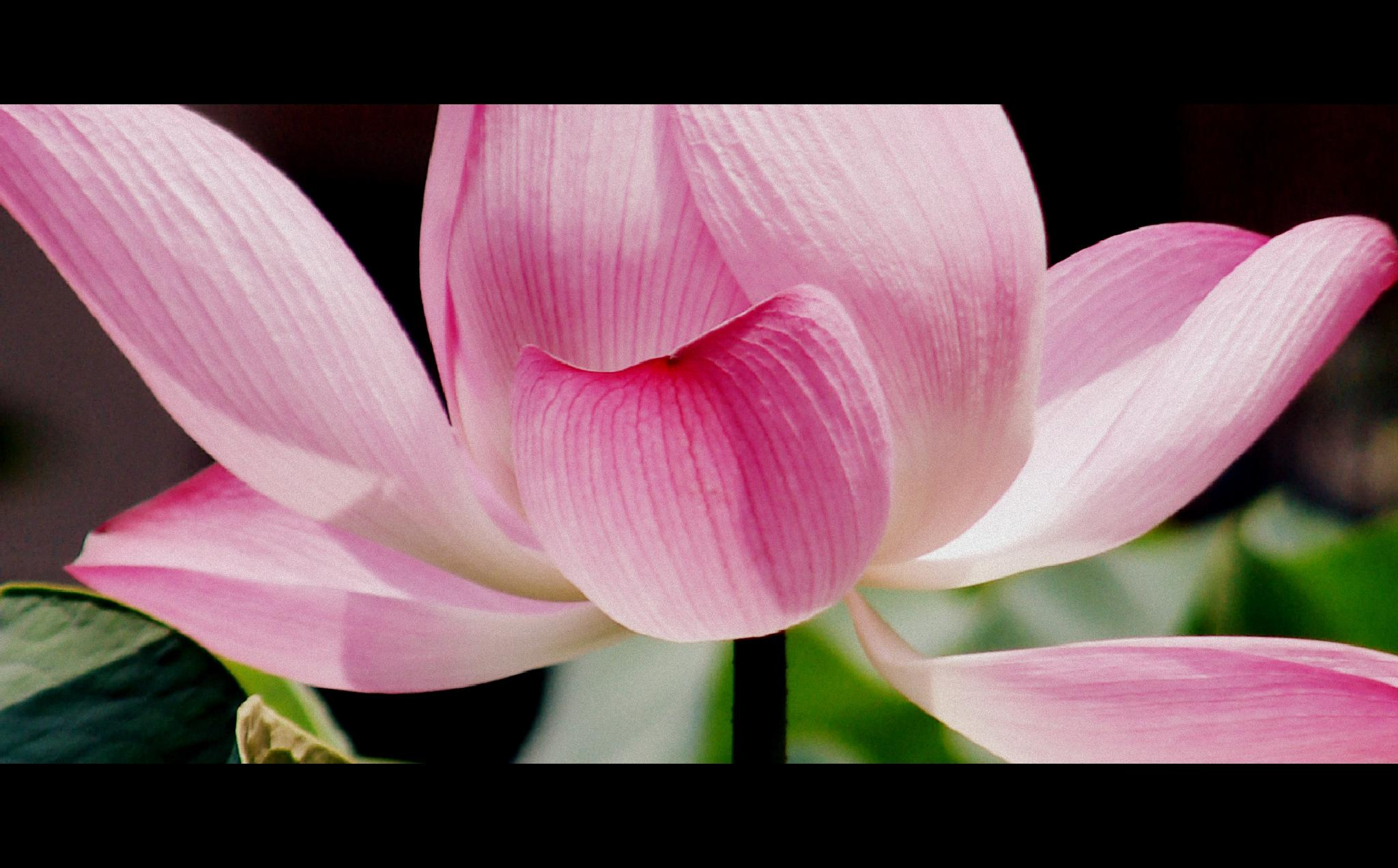 Lotus Flower  by Andreia_Costa