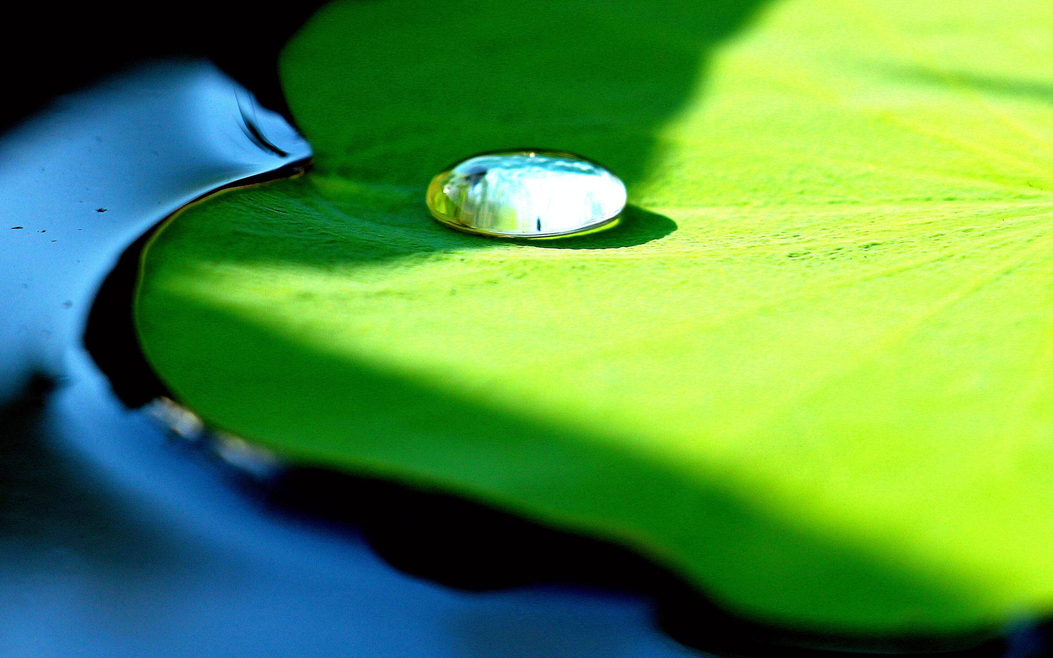 Water lily leaf by Andreia_Costa