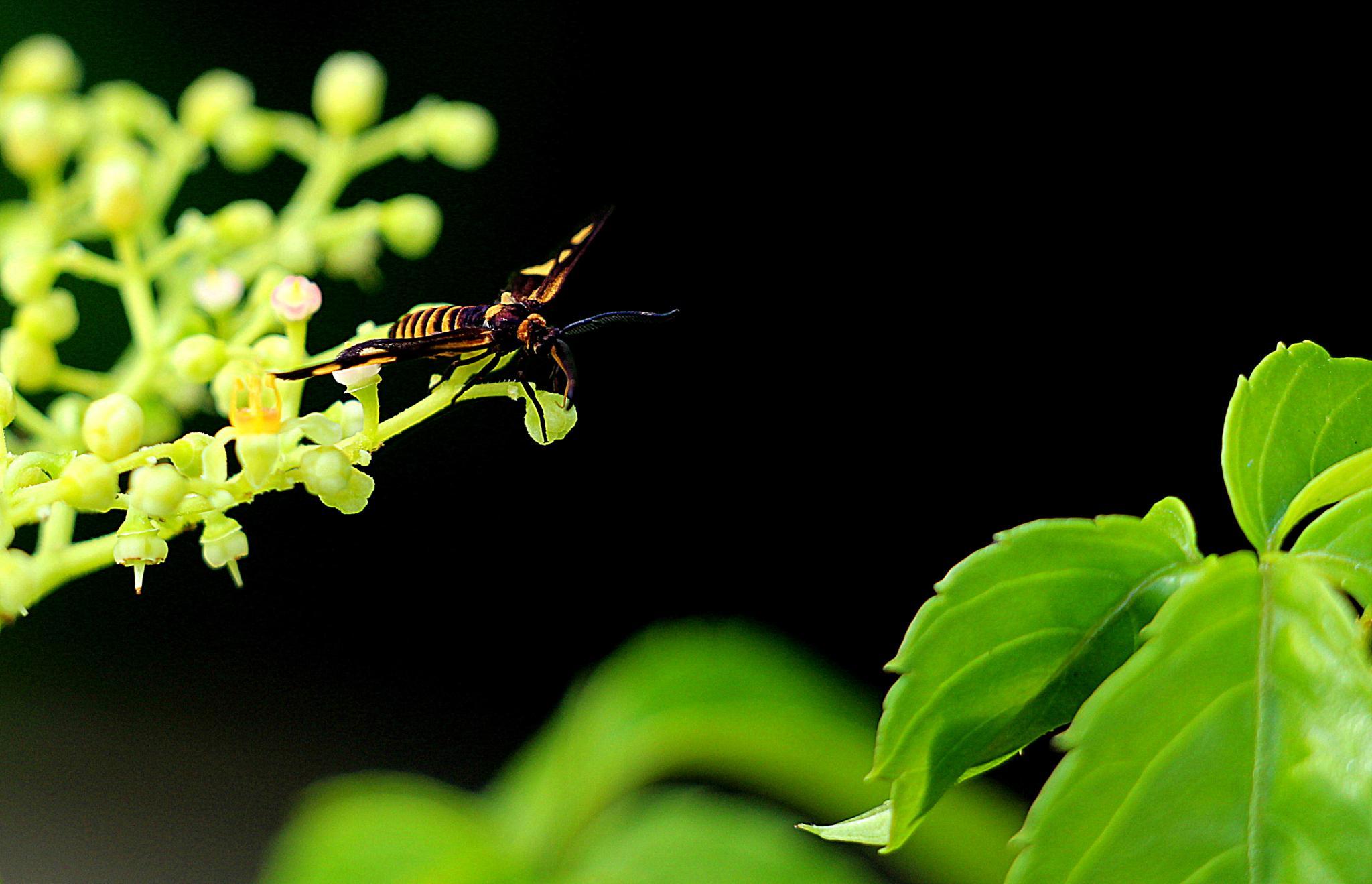 Orange Black Wasp Moth  ( 2 ) by Andreia_Costa