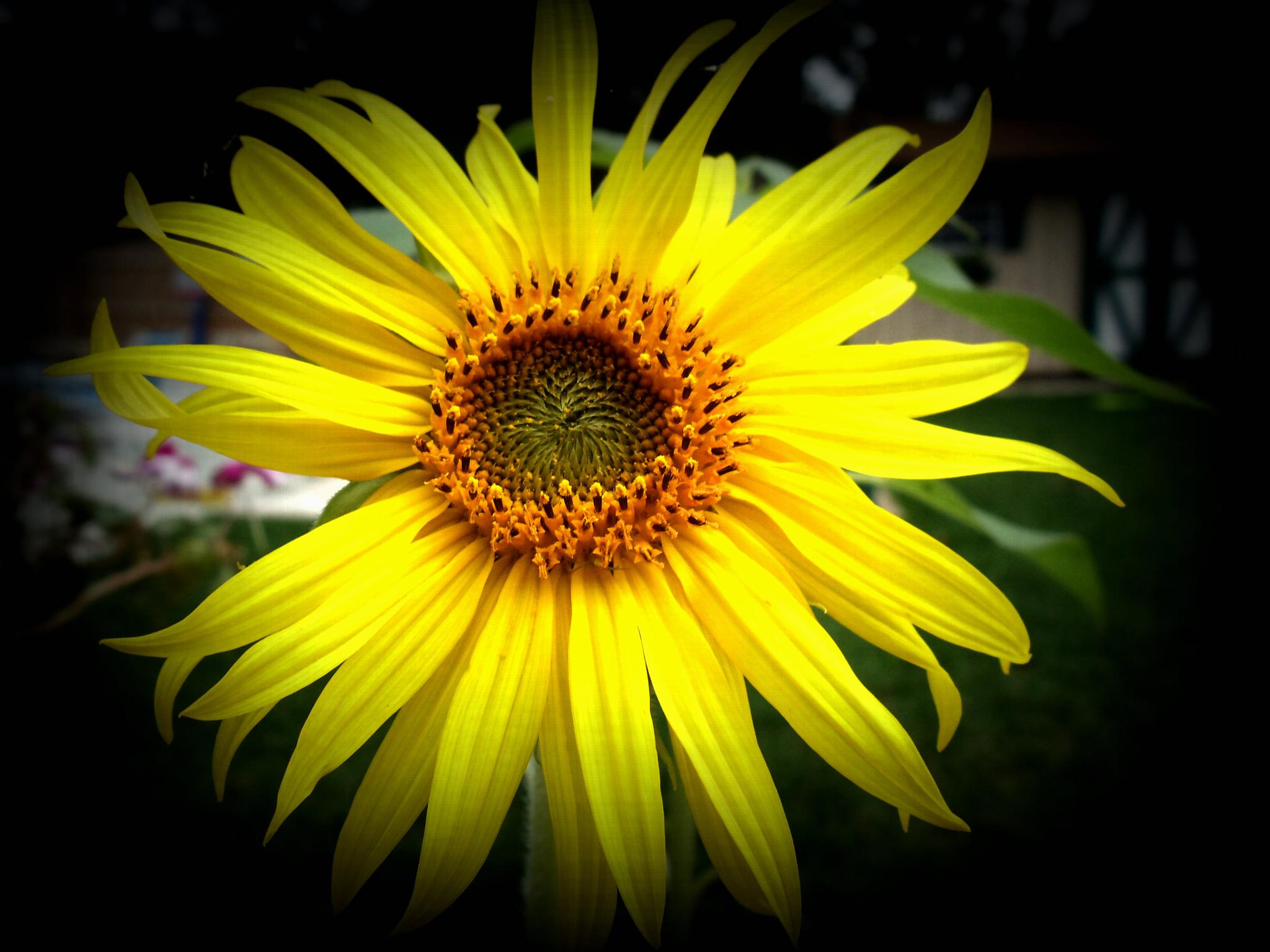 Sunflower  by Catjar