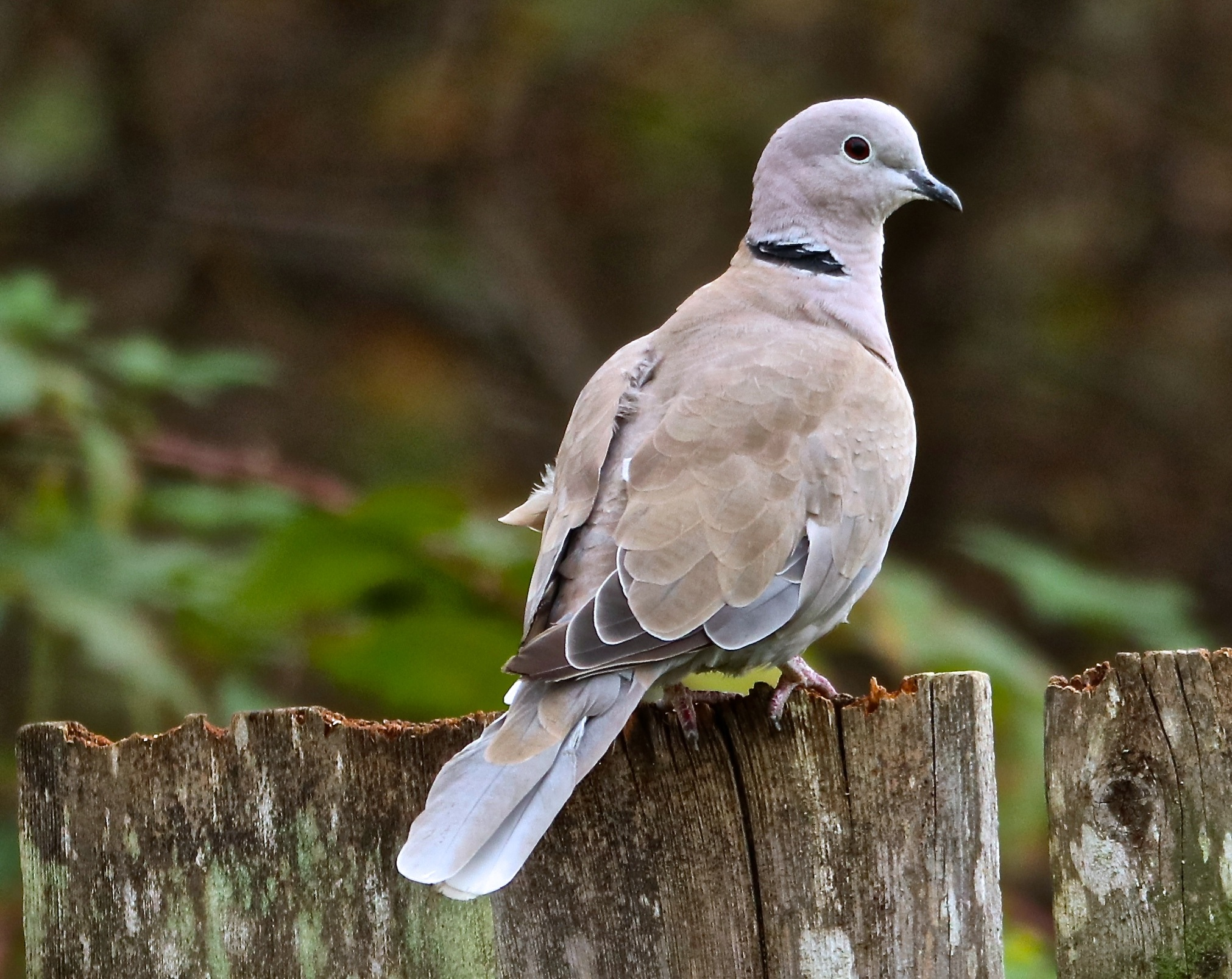 Eurasian Collared-Dove by judy.howe.33
