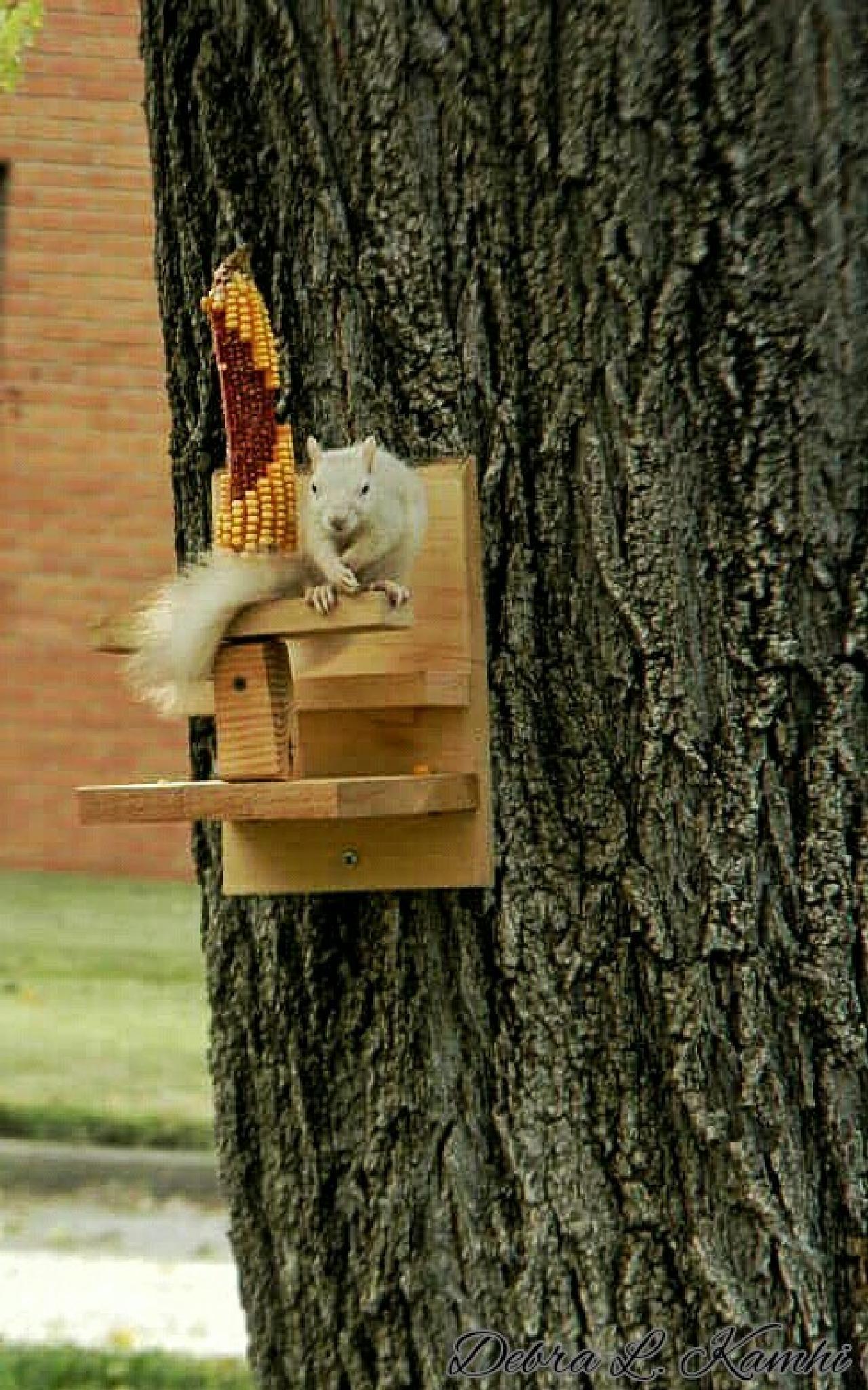 Albino Squirrel on corn feeder by debra.kamhi