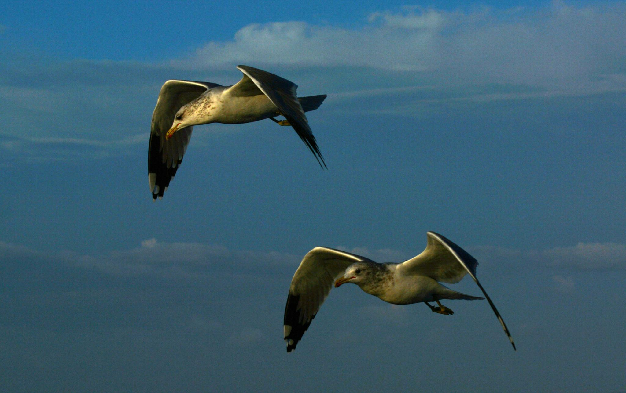 Seagulls Inflight by Gerard Francis Corbett