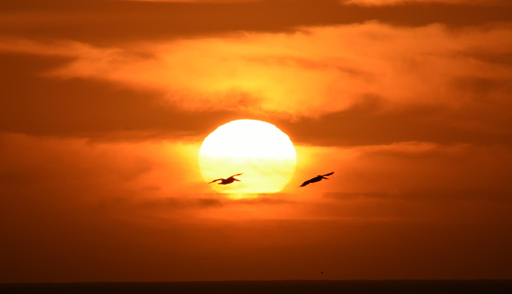 Pelicans at Sunset by Gerard Francis Corbett