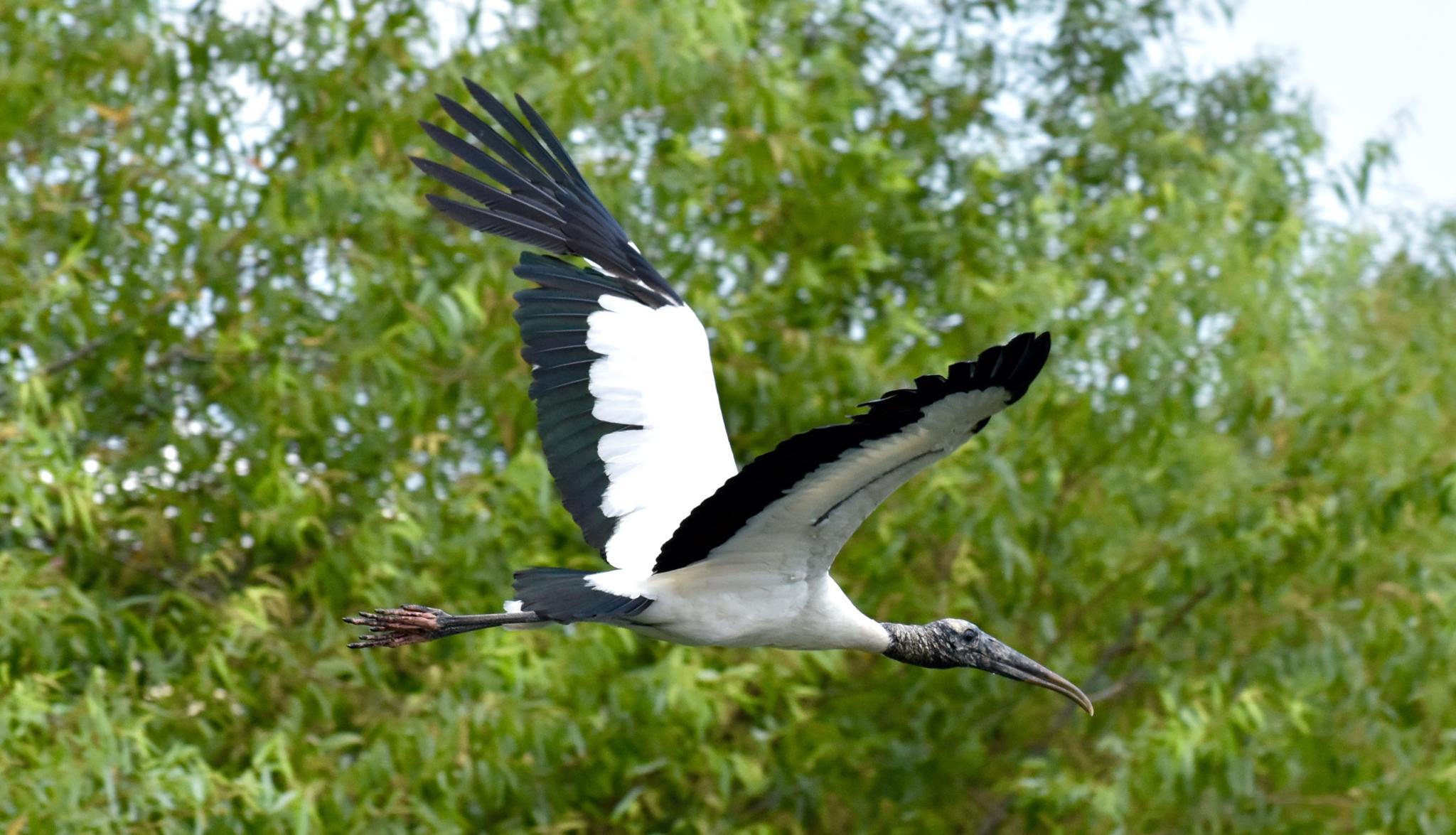 Wood Stork in Altimonte Springs by Gerard Francis Corbett