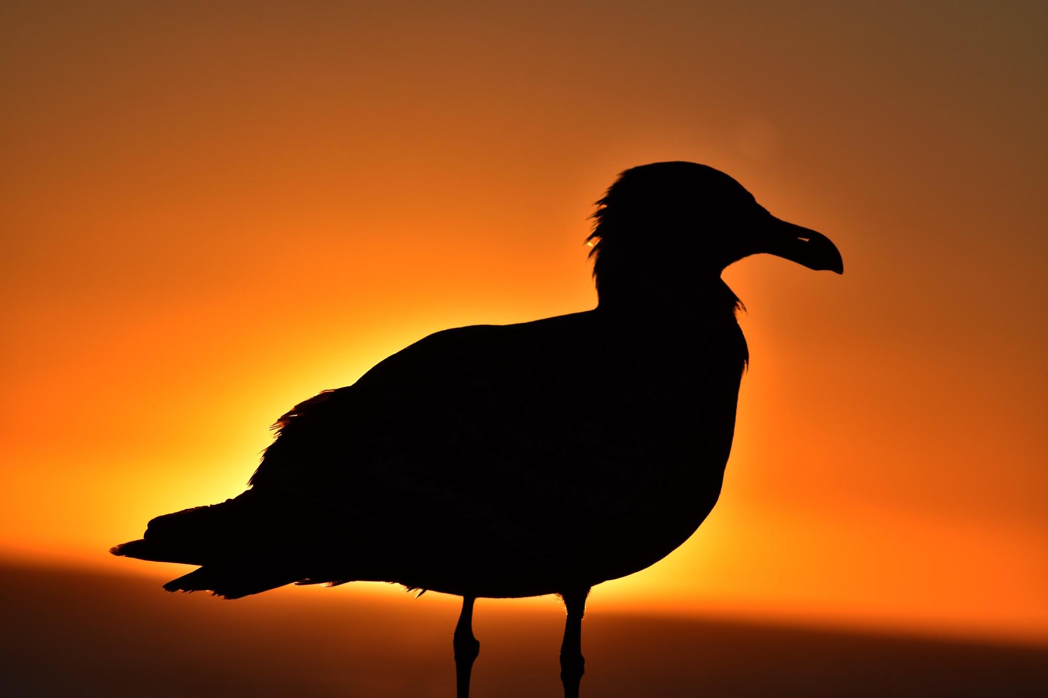 Seagull Sunset by Gerard Francis Corbett