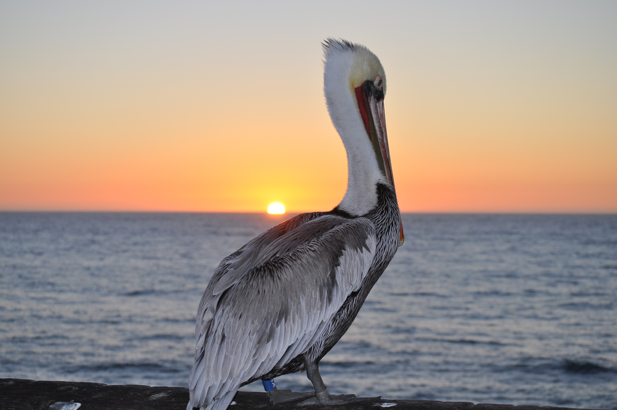 Pelican at Sunset by Gerard Francis Corbett