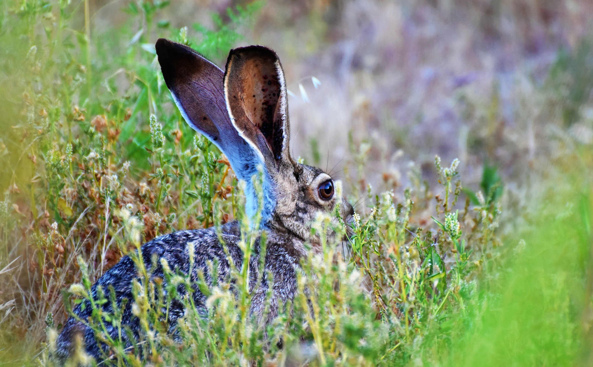 Hiding Hare by Gerard Francis Corbett