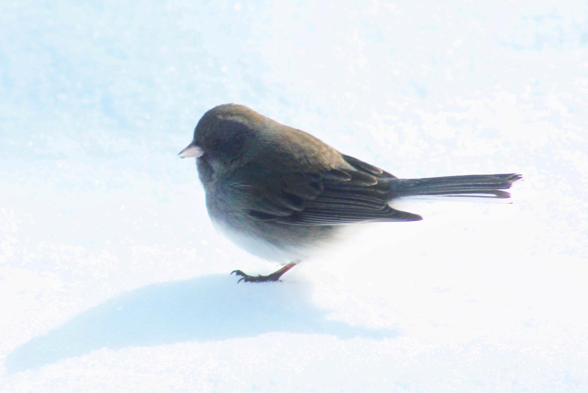 Snow Sparrow by Kat's Out Back :)