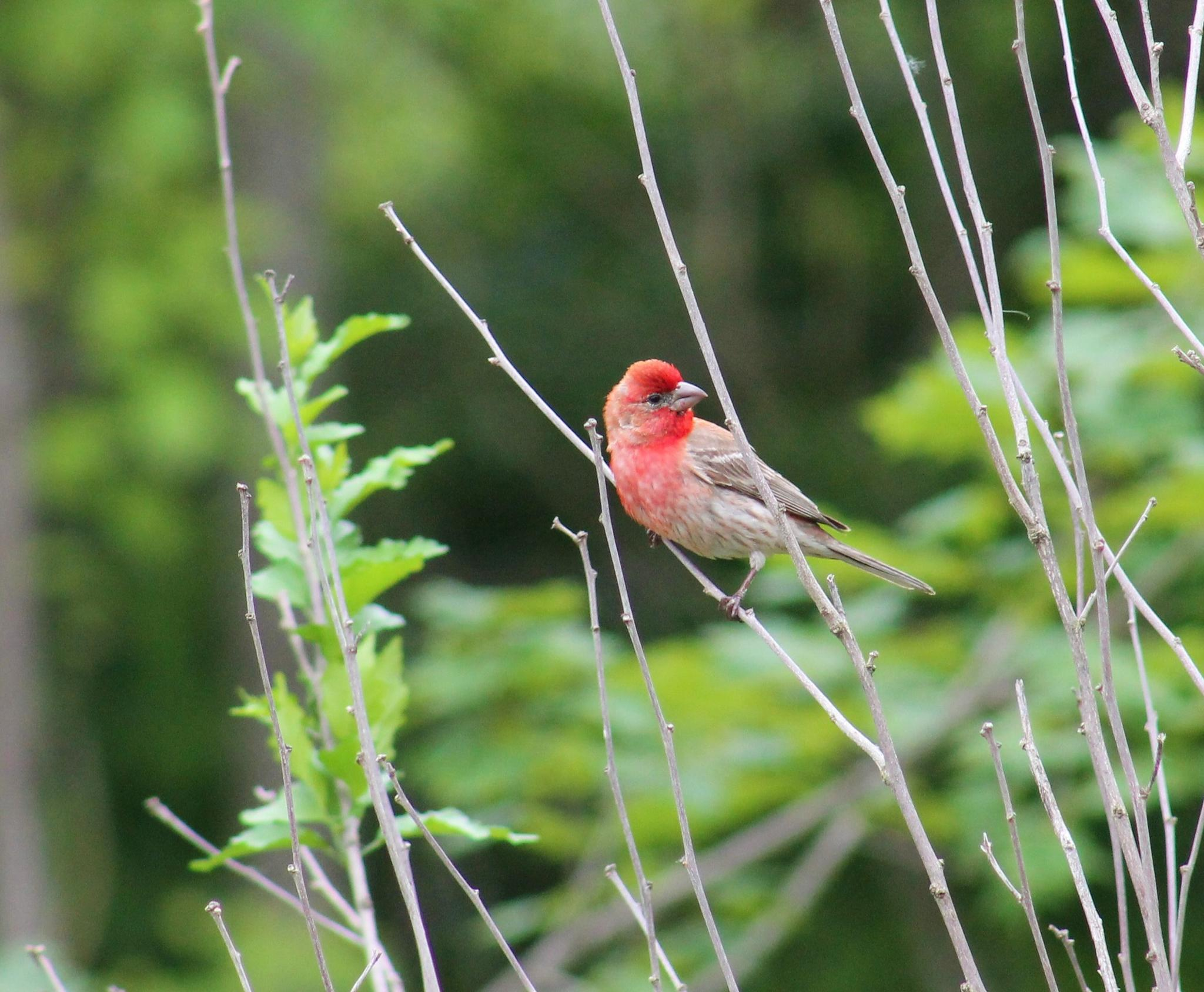 House Finch looks like the Purple Finch by Kat's Out Back :)