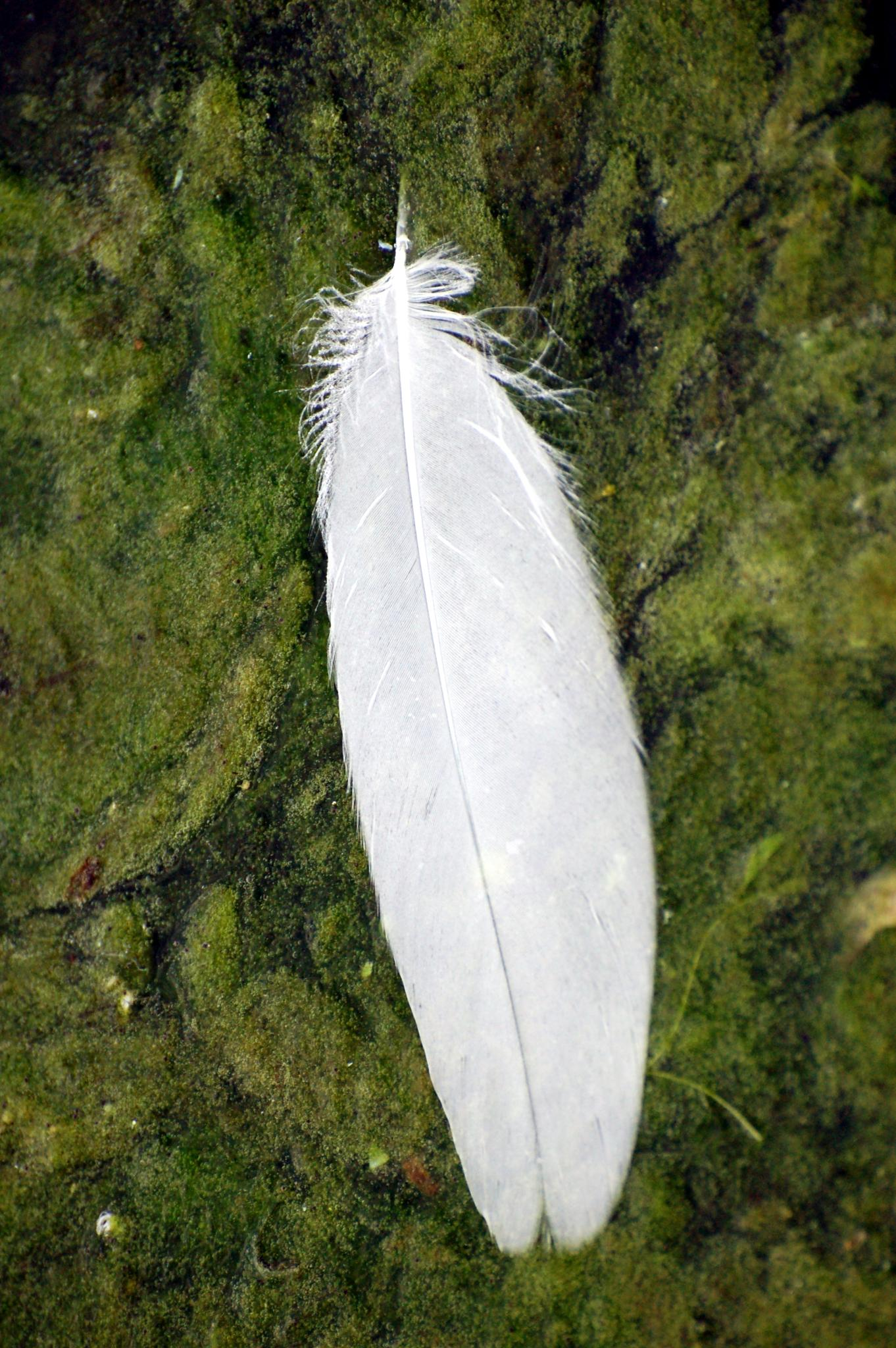 Swan's Feather by lazy.human