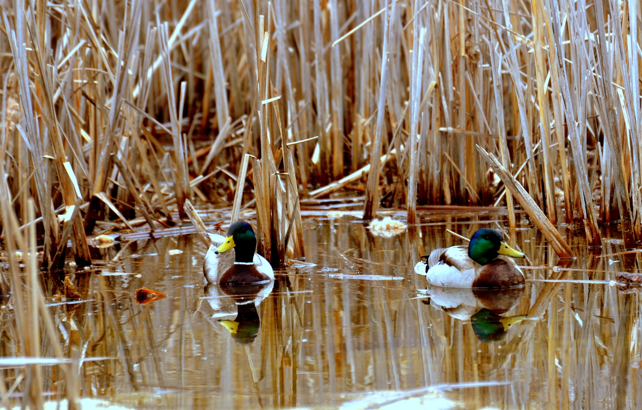 Ducks by lazy.human