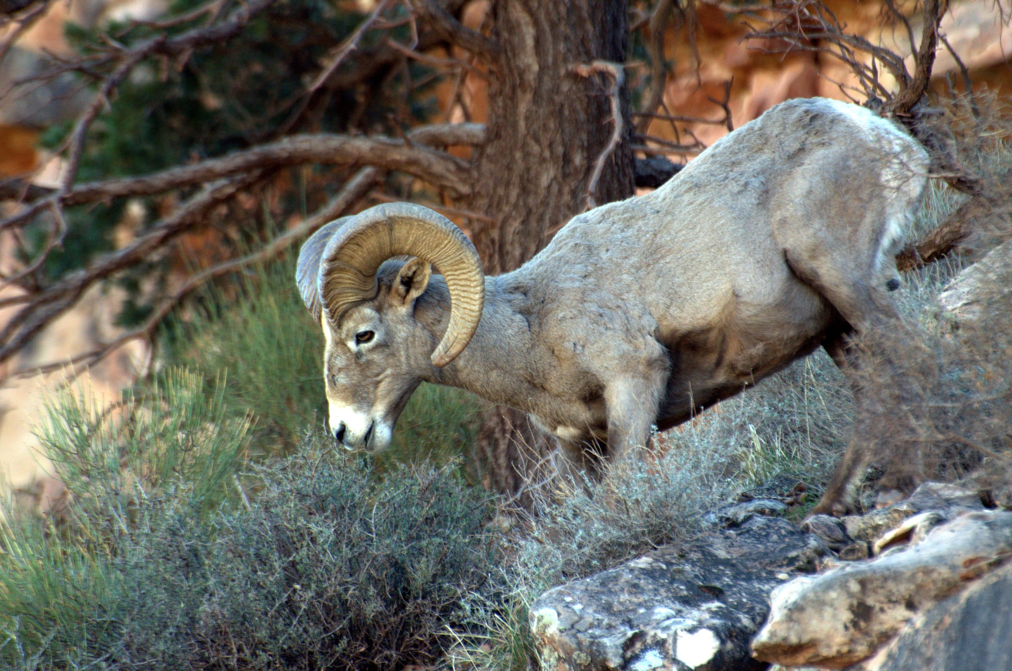 mountain goat in grand canyon by lazy.human