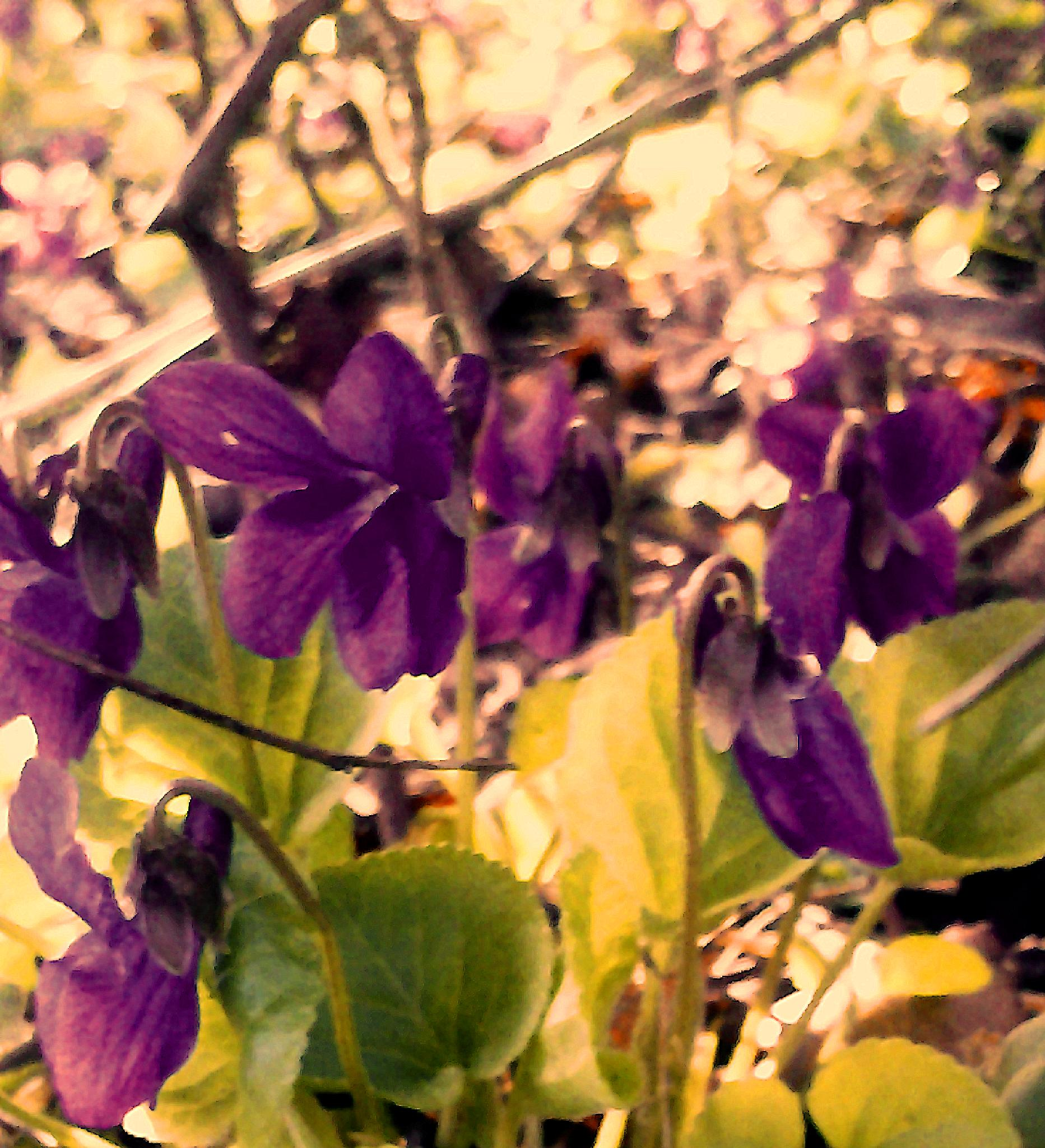 Under the bushes in my garden the violets are blooming. by MiaE