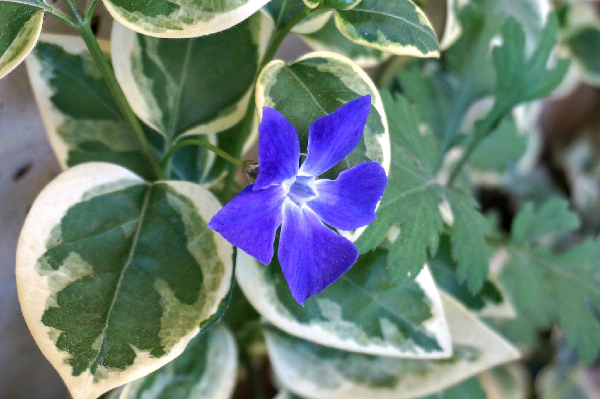 ivy flower by Yavuz Sevgi