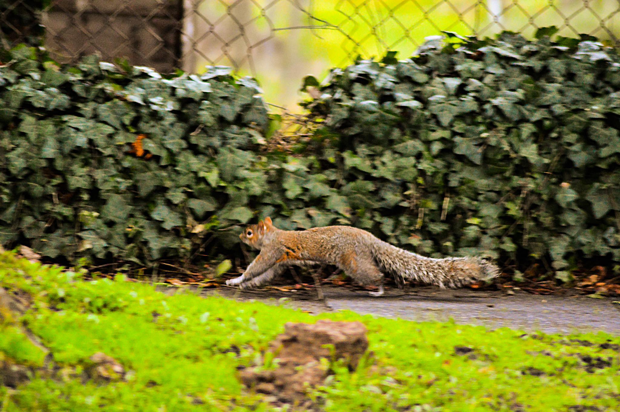 The running squirrel by Keygen89