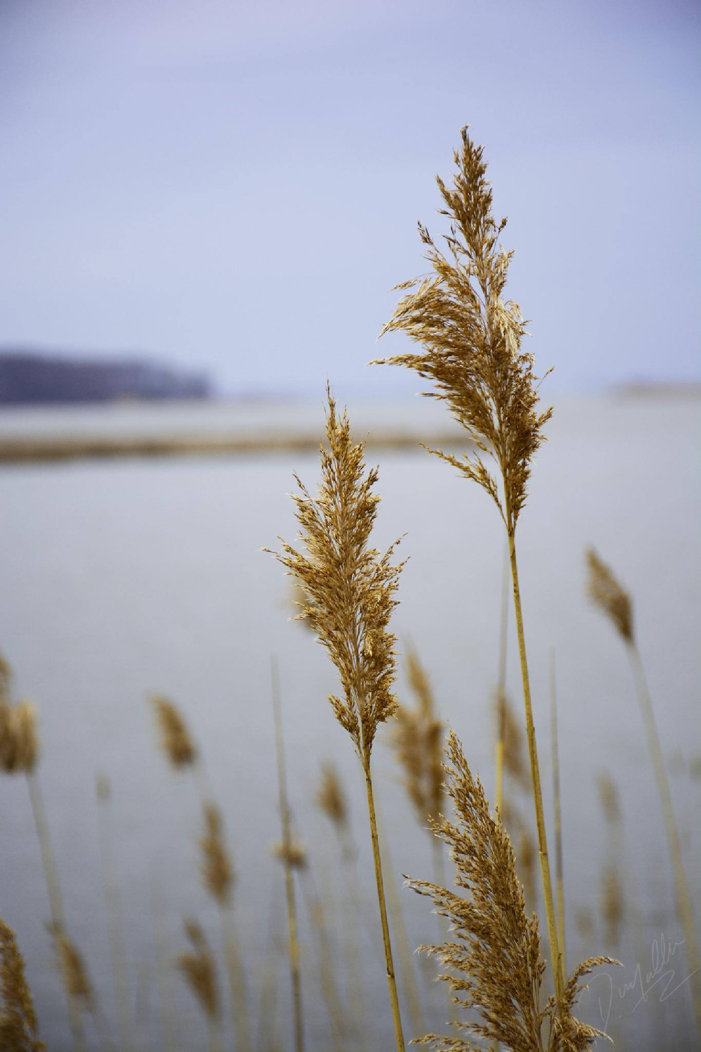 Indian Grass 1 by Dennis Mullin