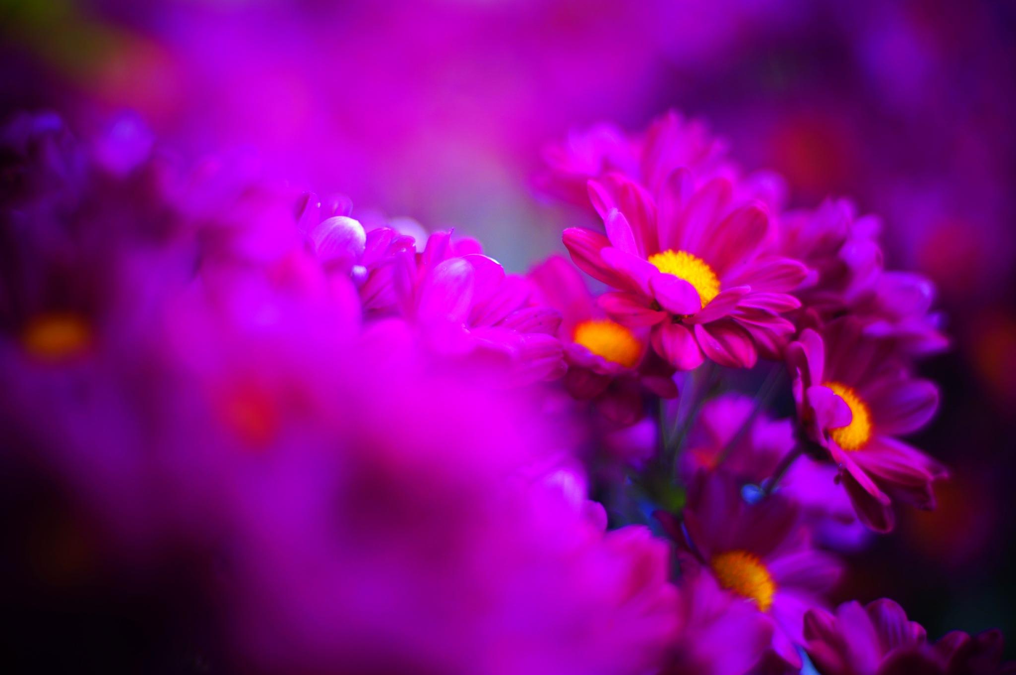 菊 by yihwork