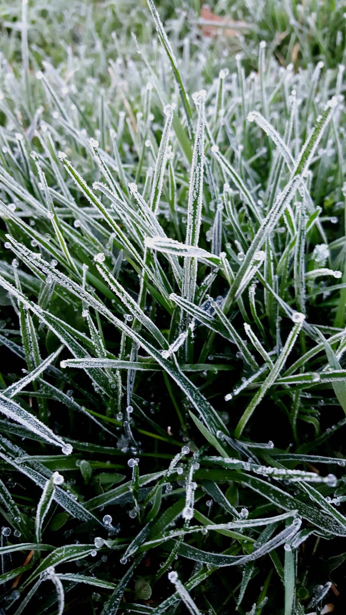 Frosted Grass  by Carolyn Stineman