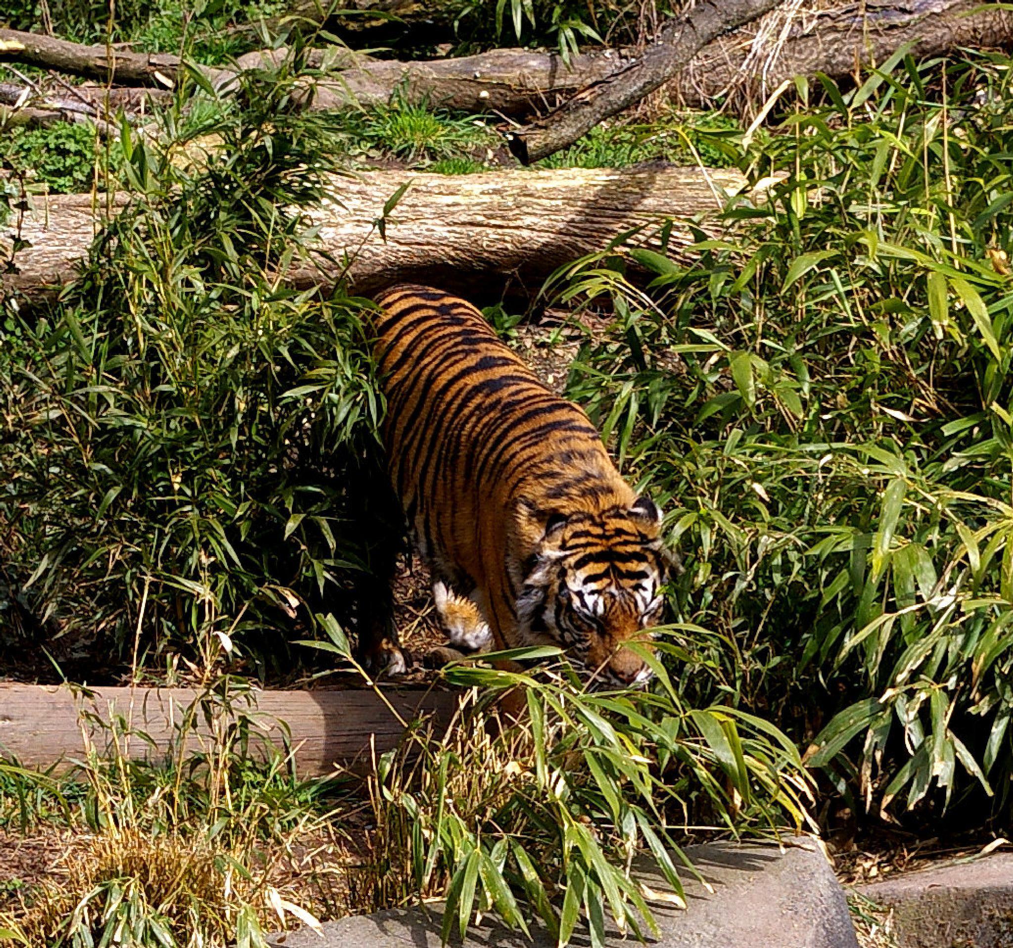 tiger by tawnye.richards