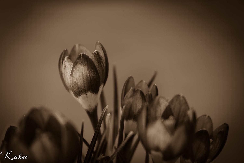 Photo in Nature #crocus #flower #nature #macro #hungary